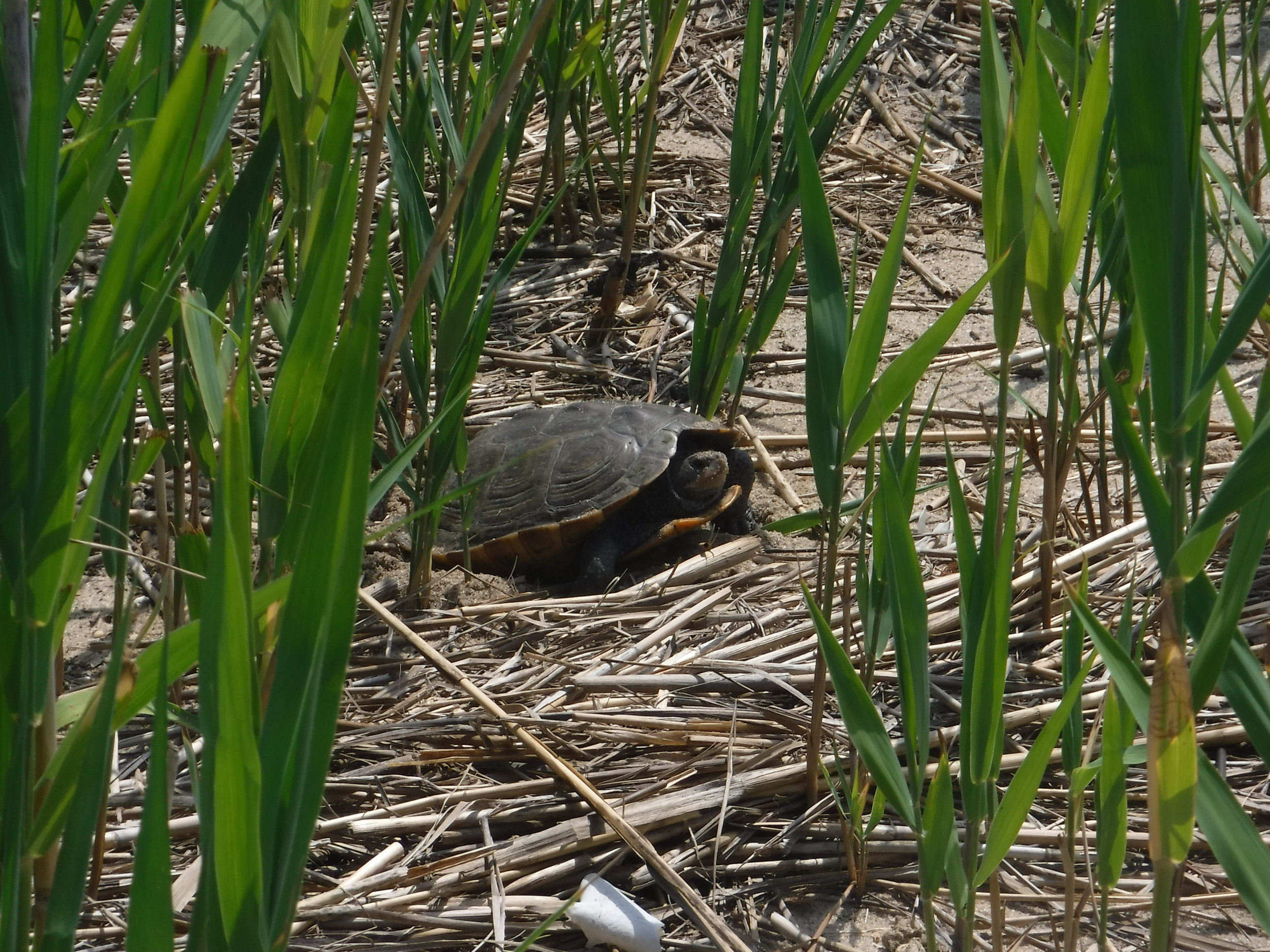A female Diamondback terrapin in the process of laying eggs near the Navesink River, NJ.