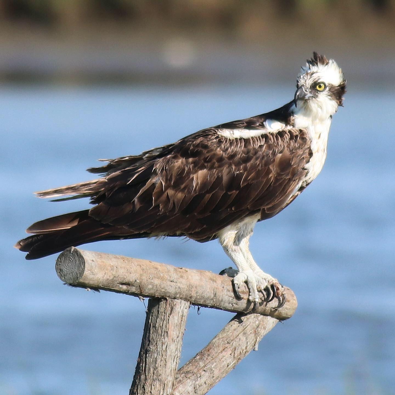Return of the Ospreys - Volunteers needed to help install new nesting platforms or help repair existing nesting platforms