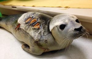 A harbor seal with a shark bite injury. Photo: University of New England Marine Animal Rehabilitation Center.