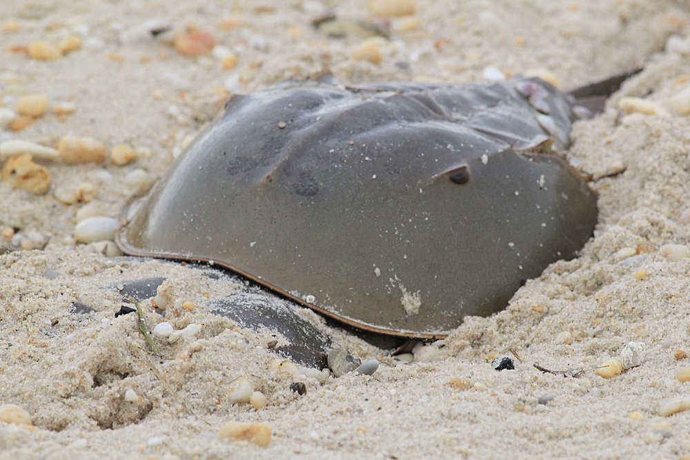Watch where you step!  Sometimes female or mating horseshoe crabs bury themselves deep in the sand while laying eegs.