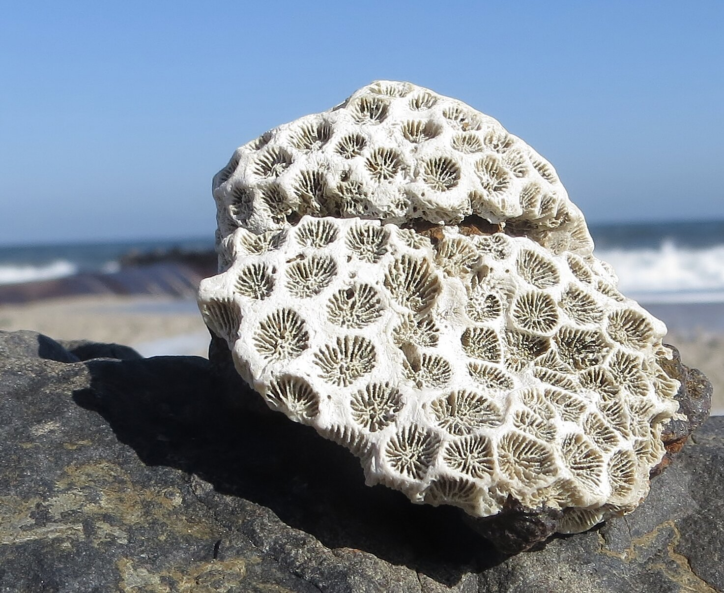 Northern Star Coral