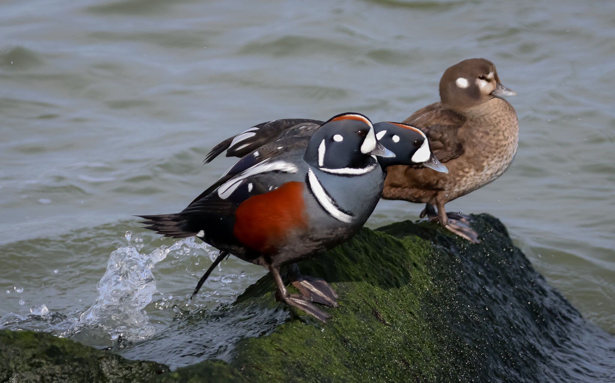Harlequin ducks (male & female)