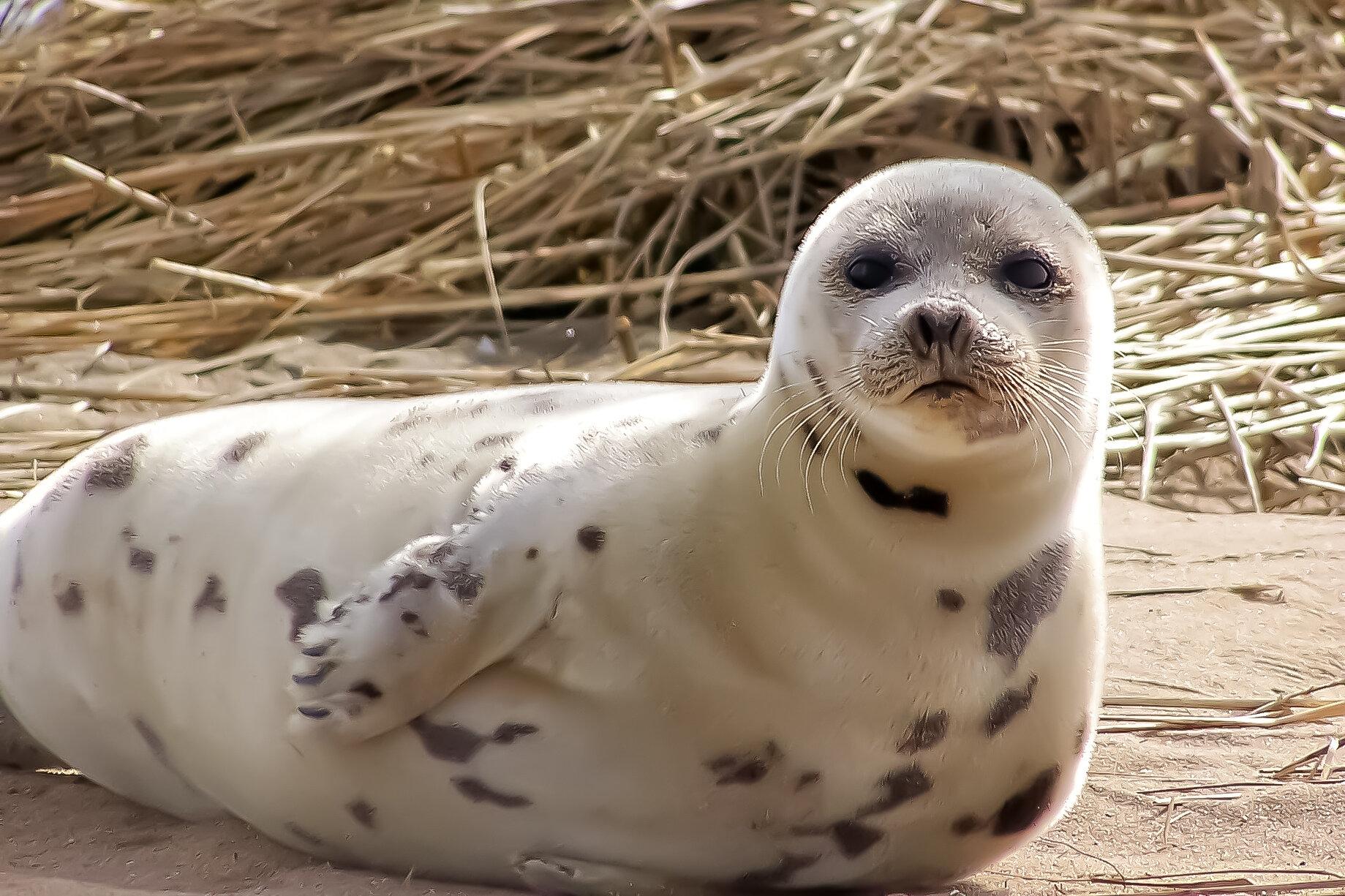 Harp Seal (juvenile)