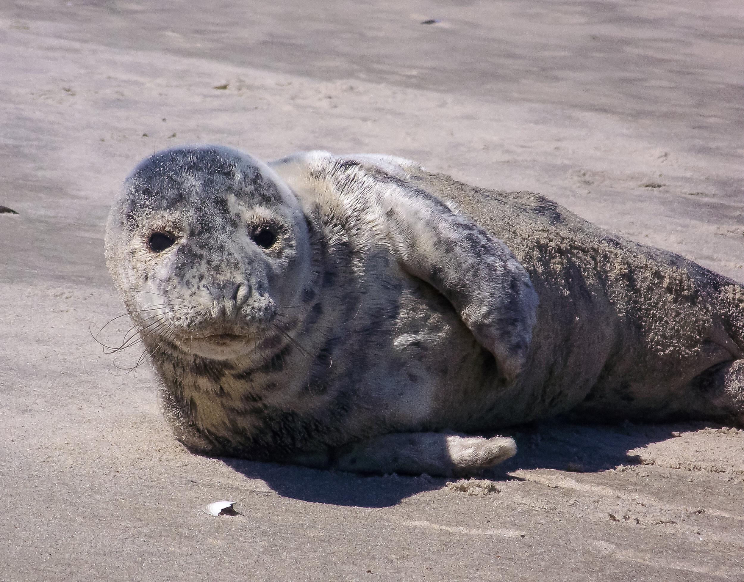 Grey Seal (juvenile)