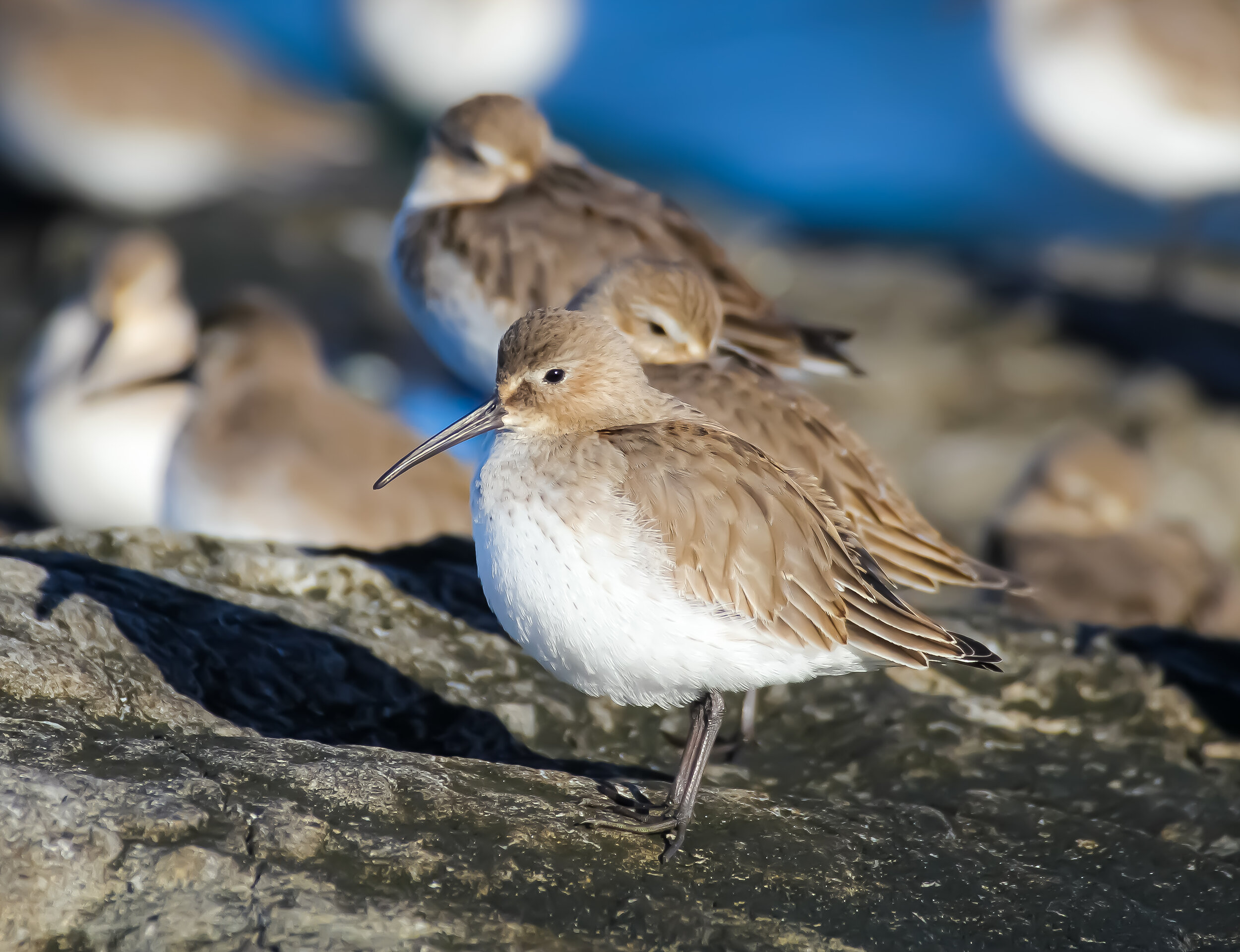 Dunlin (winter plumage)