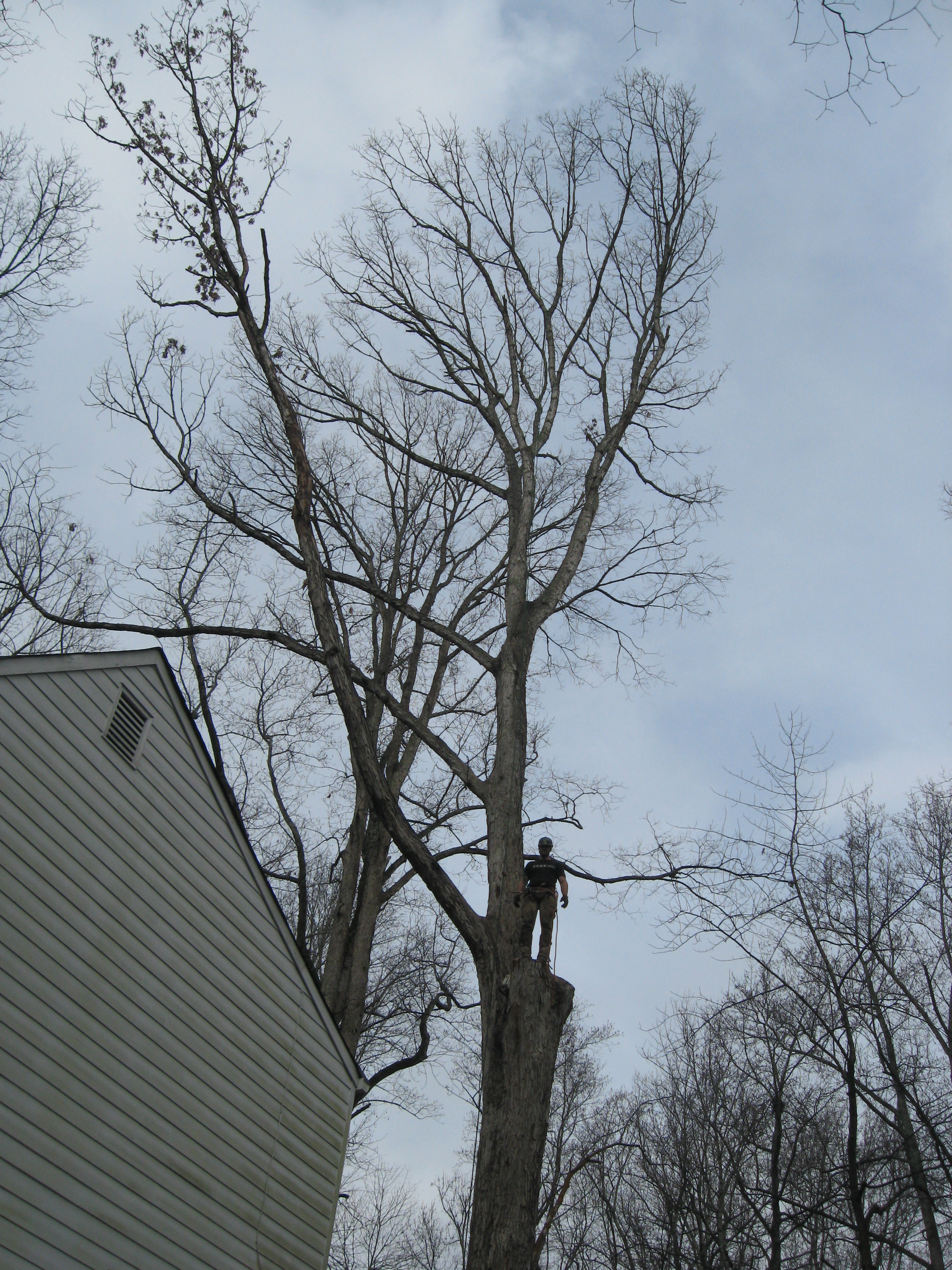 The white oak loomed over the house owned by Eutree's client.