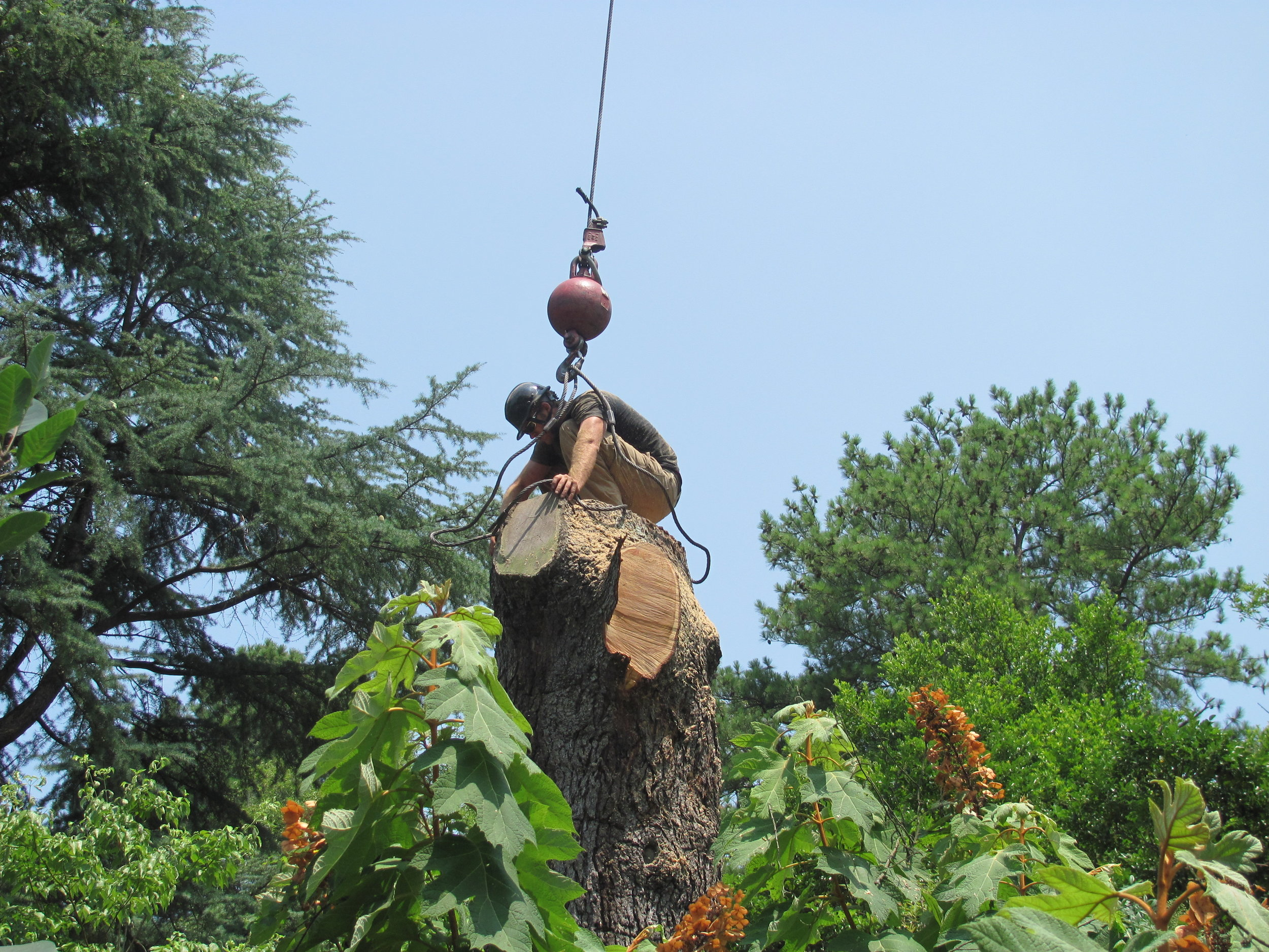The tree is carefully cut and secured by local expert arborist.