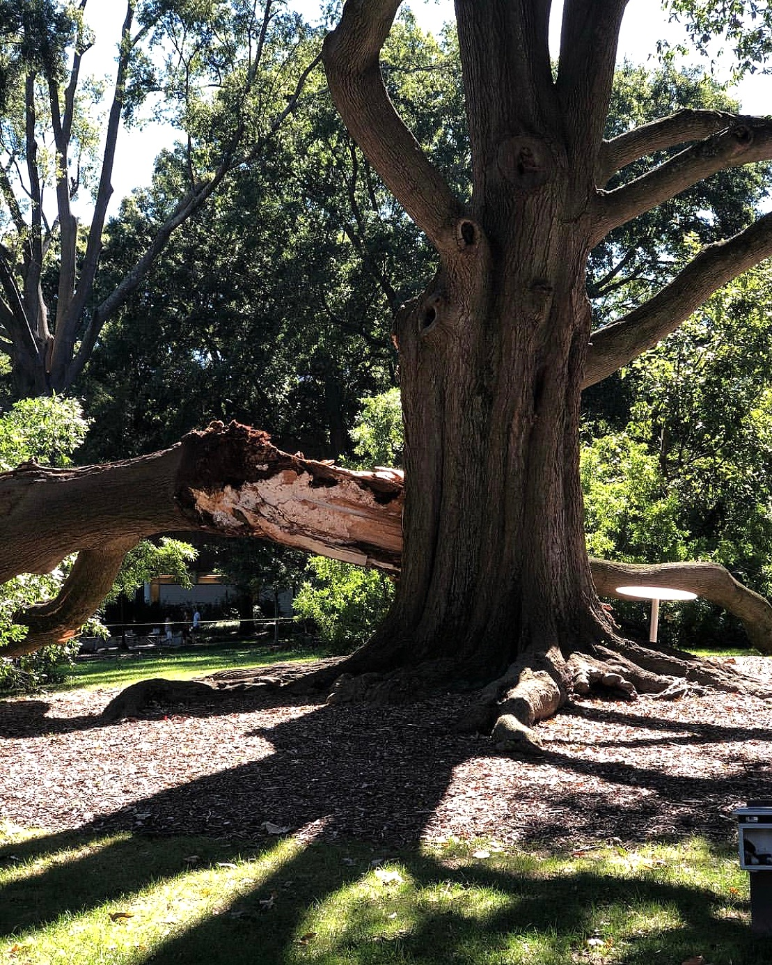 A grand oak unfortunately came down in one of Georgia Tech's courtyards due to Atlanta's storm season. This tree was one of the oldest on campus. Students and alumni came together on social platform, Instagram, and facilitated Eutree partnering with the University to give this beloved tree a second life.