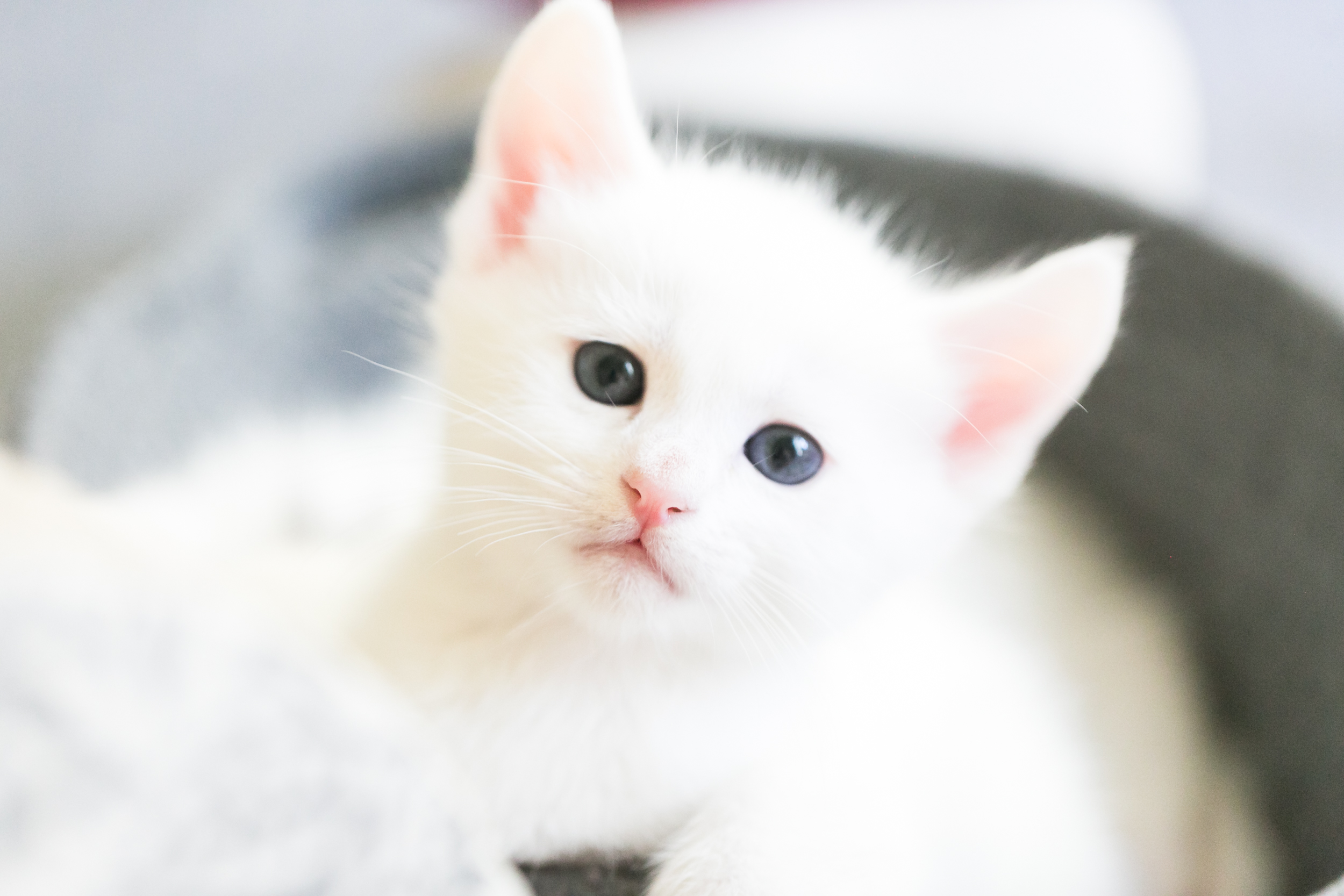 white-kitten-pink-nose-redlands-foster-cats.jpg