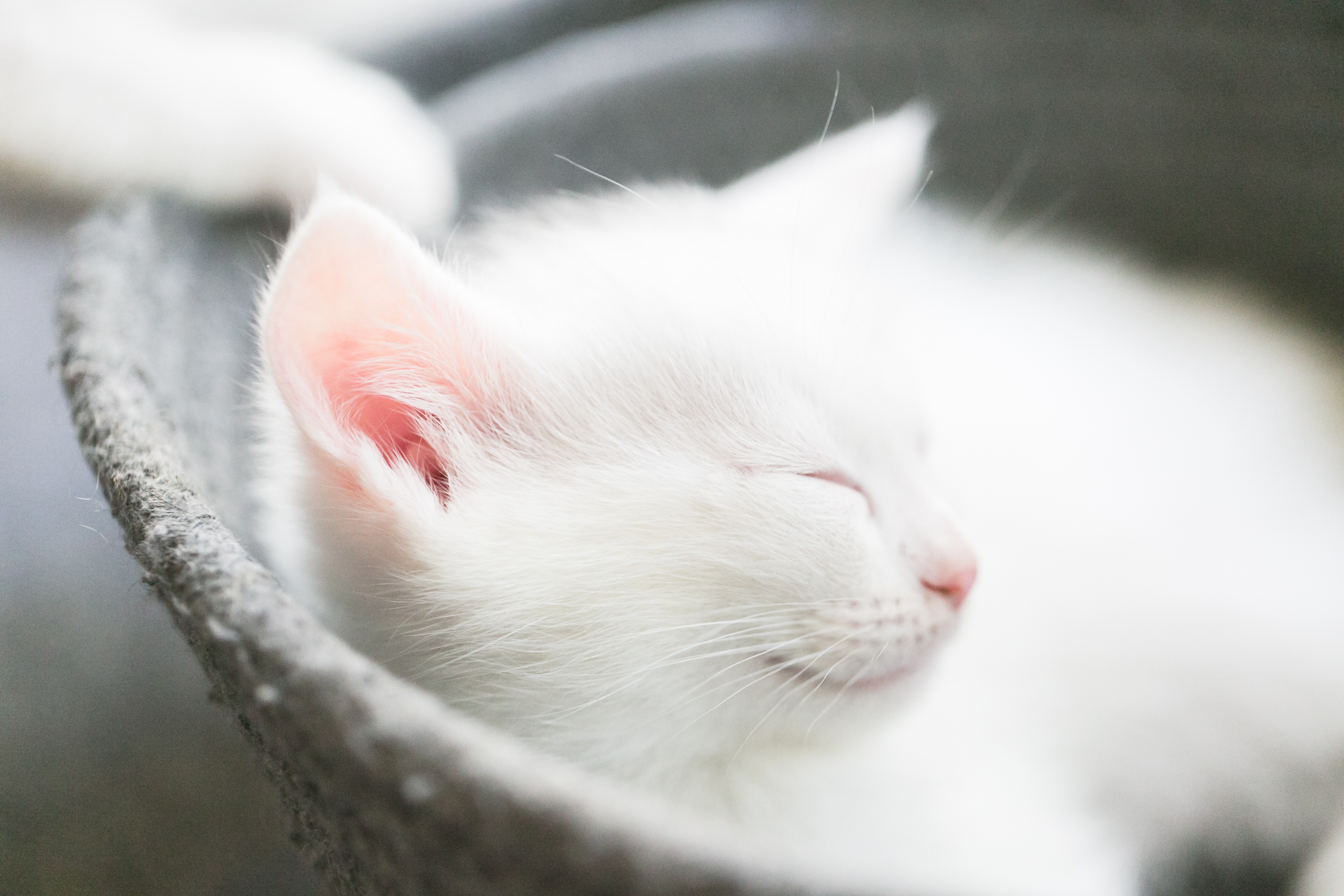 white-kitten-sleeping-basket-pink-ears-redlands-foster-cats.jpg