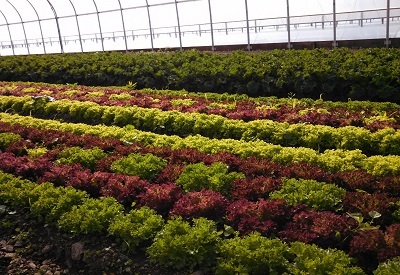 lettuce and kale in the greenhouse.jpg