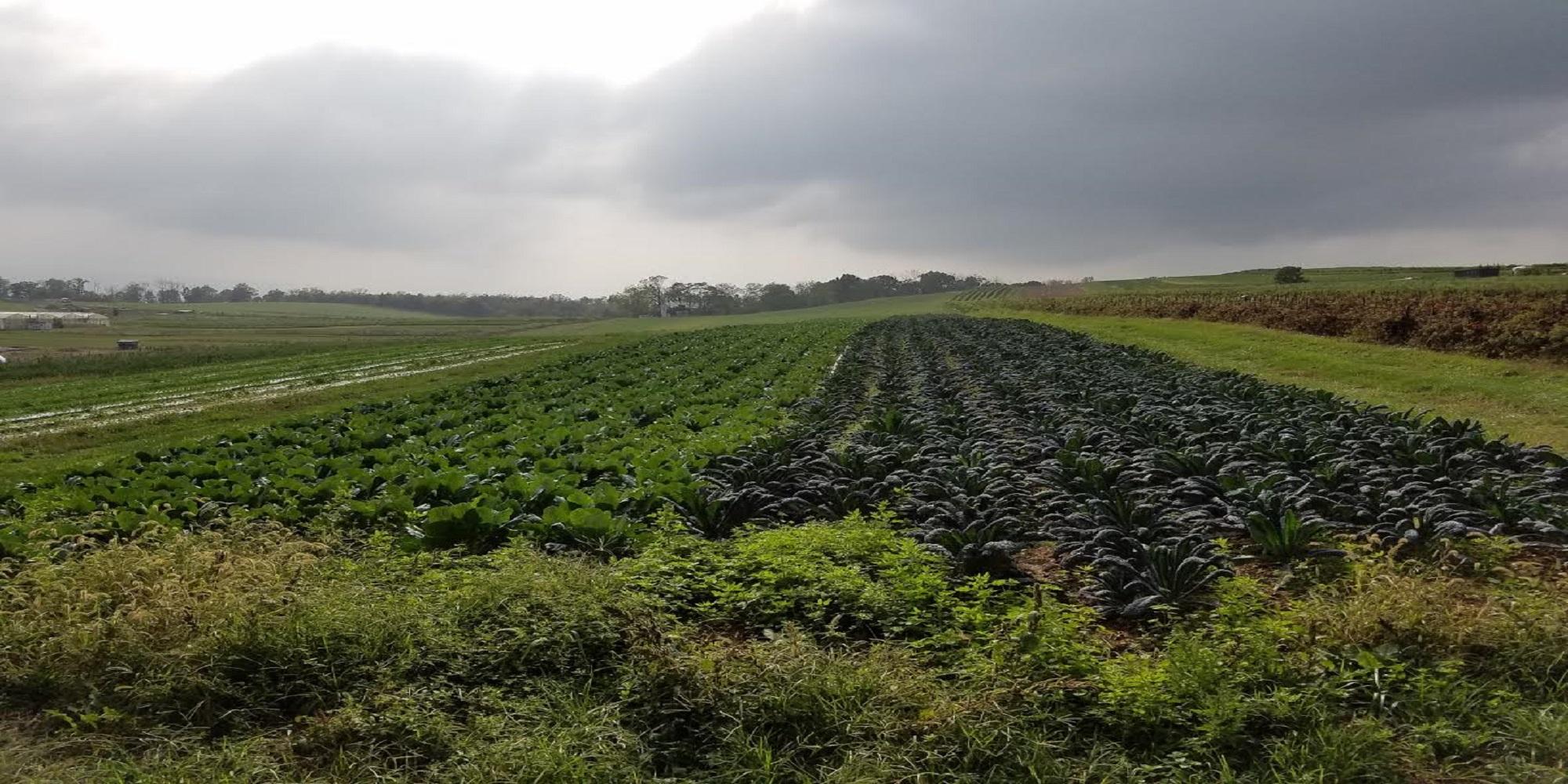 kale collard fields.jpg