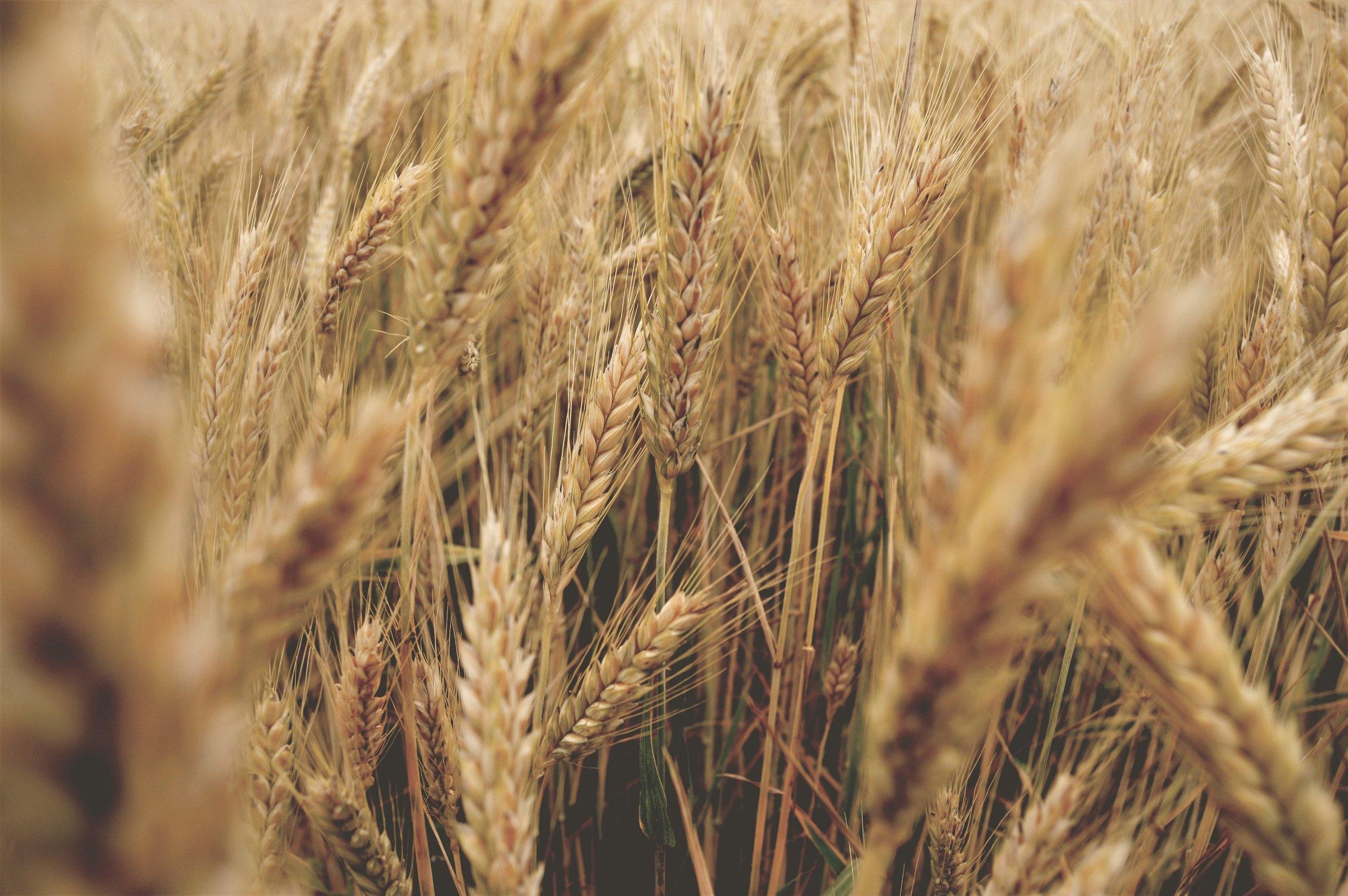 wheat5.jpeg