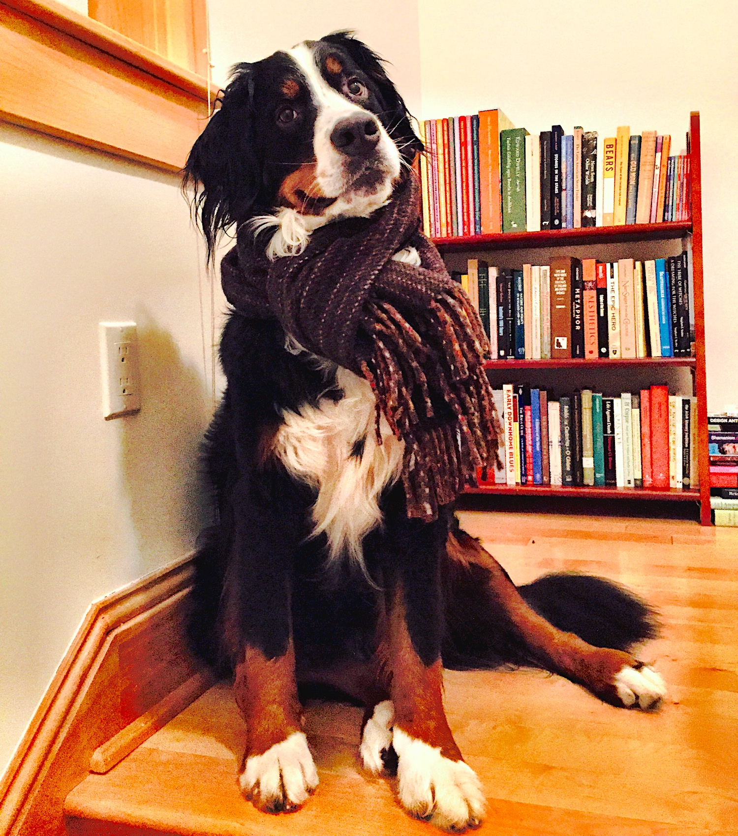 Spokesdog, Sofia the Bernese Mountain Dog,posing in her scarf by book shelves.