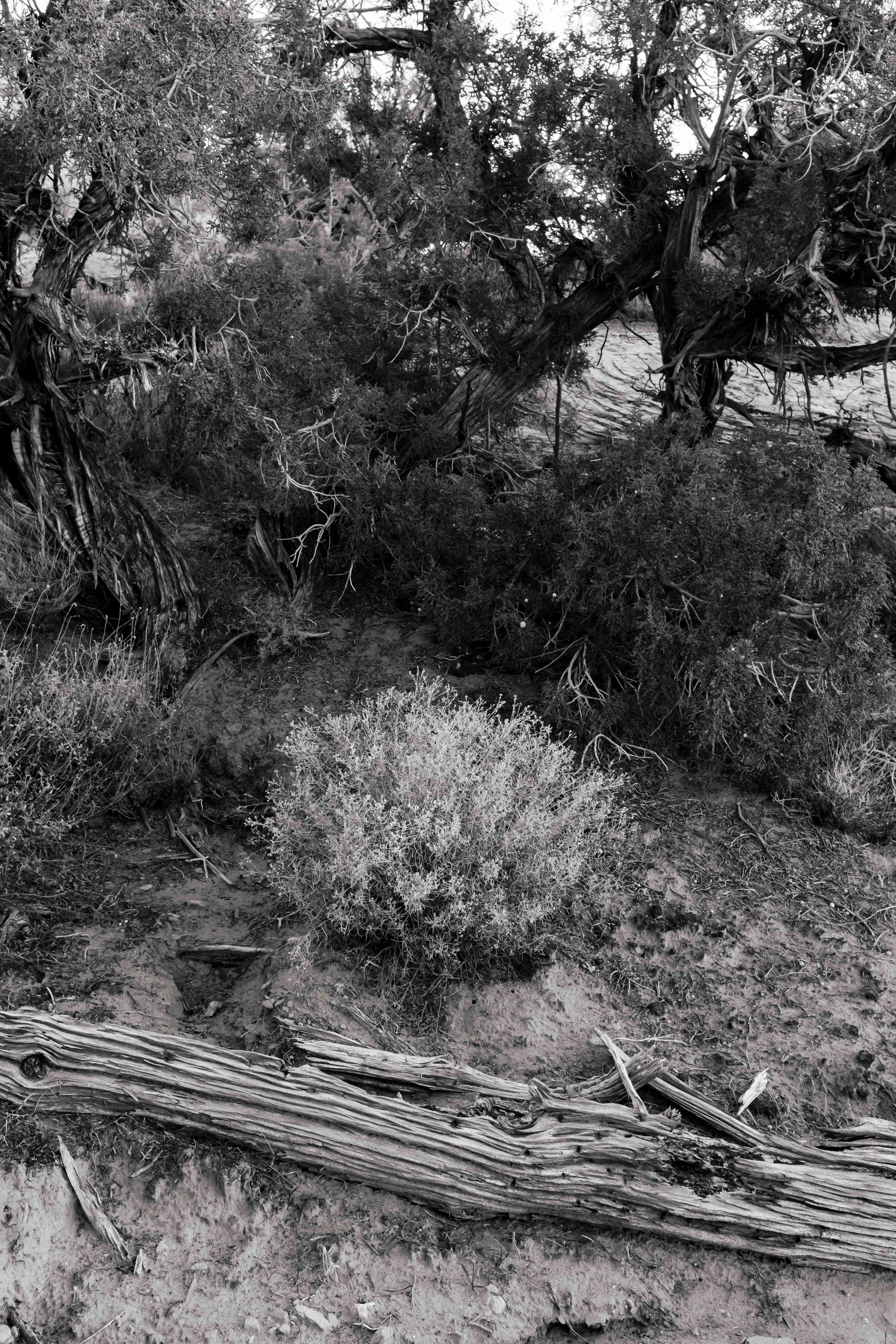 Desert shrubbery among juniper pines and dead branches. Fuji X100F