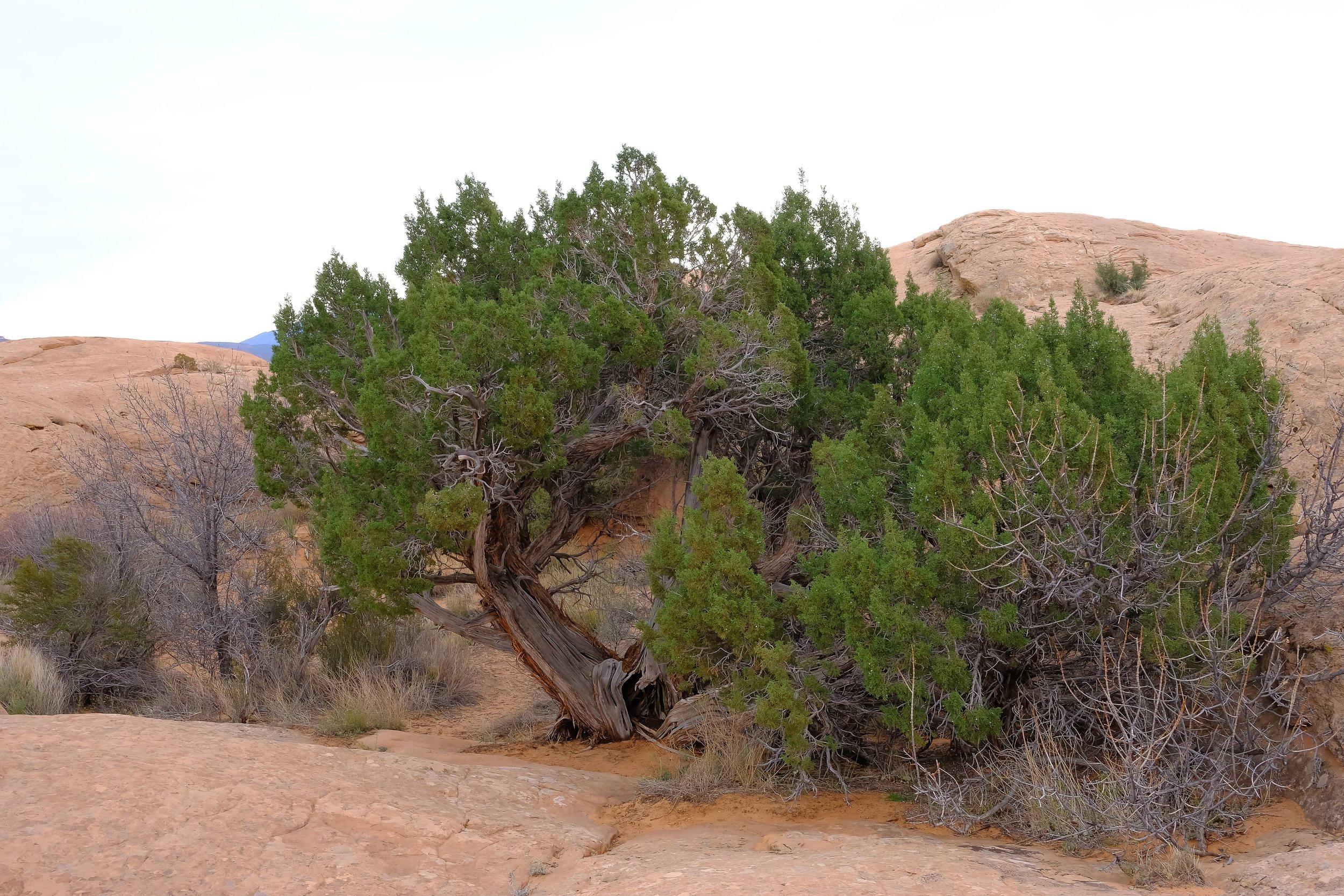 Juniper Tree amongst the slick rock - Fuji X-T2, 23mm f/2 Lens