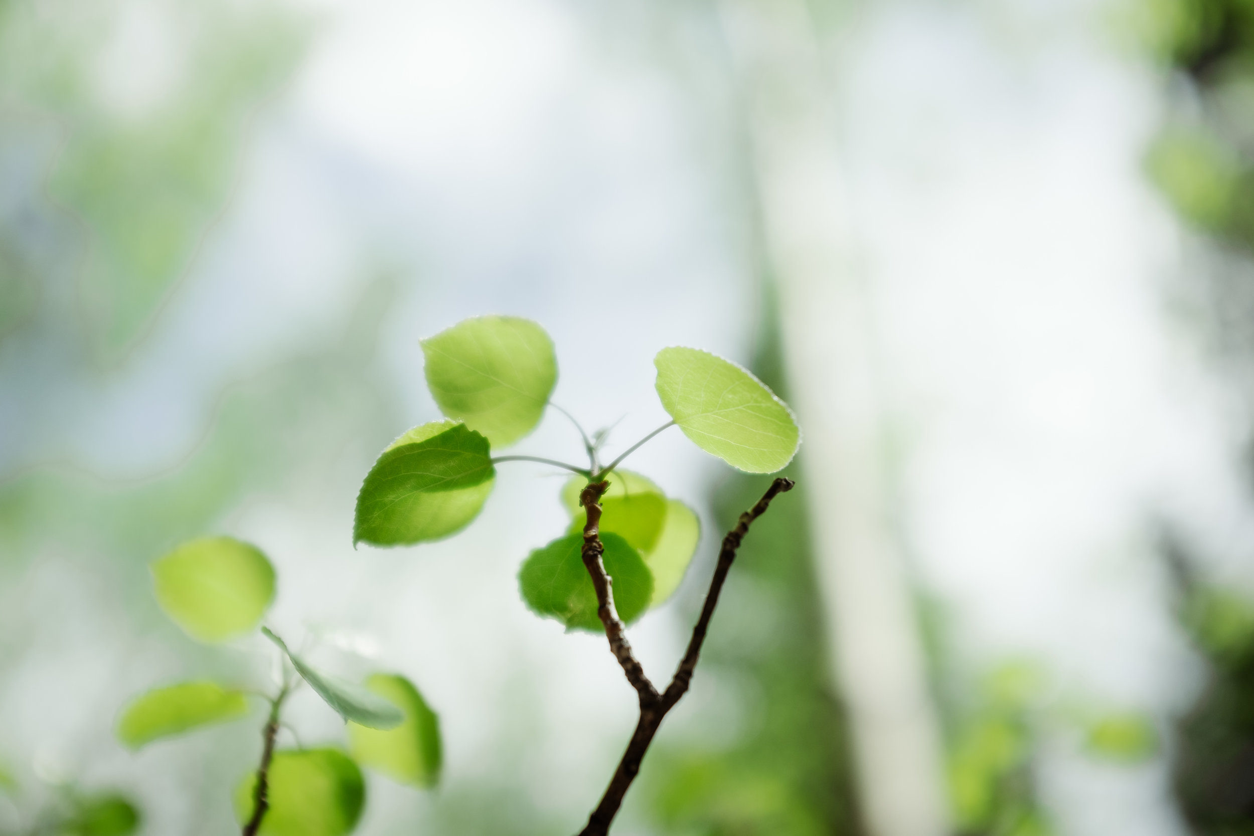 Green aspens leaves