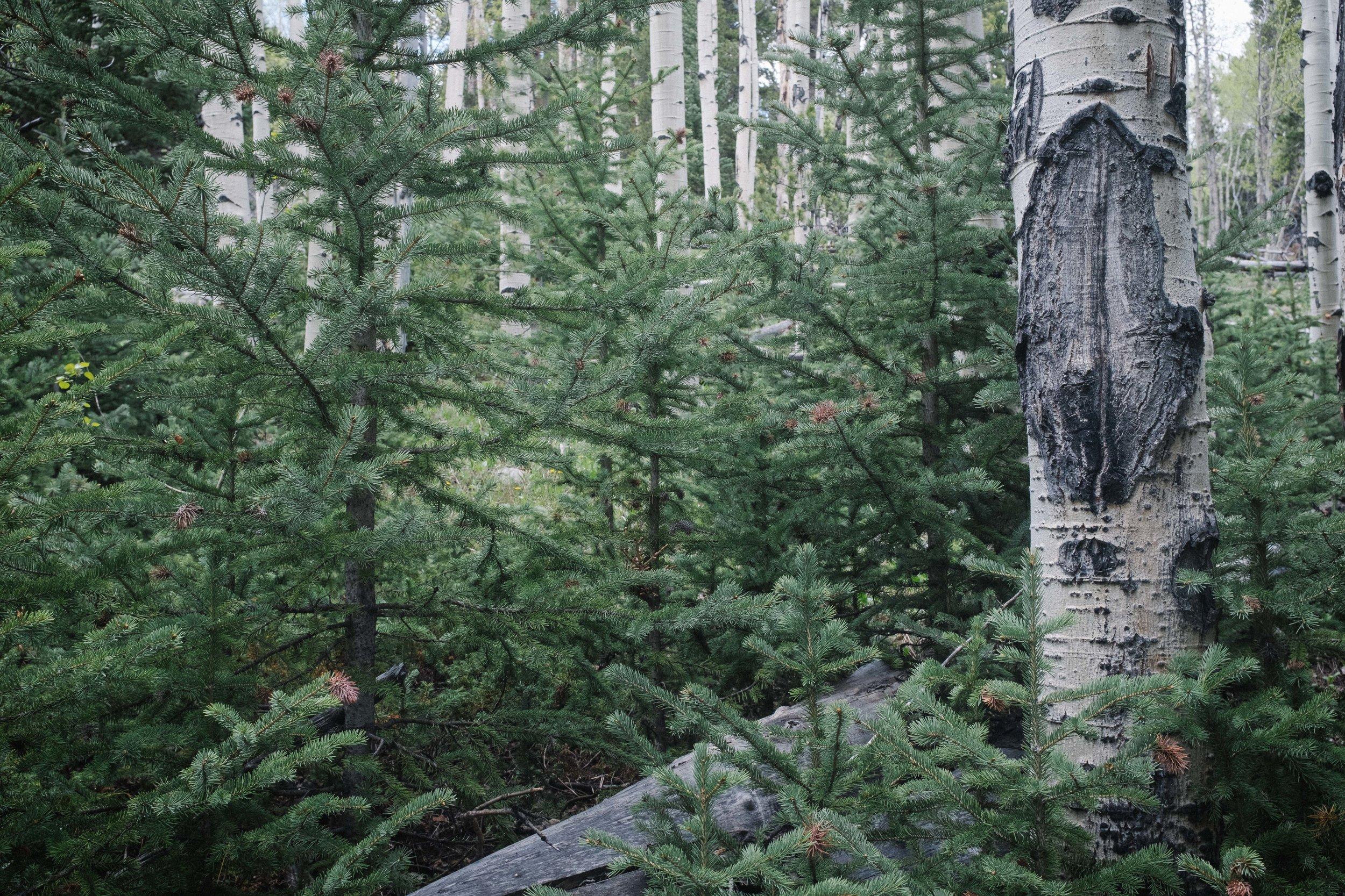 Aspen among the Pines