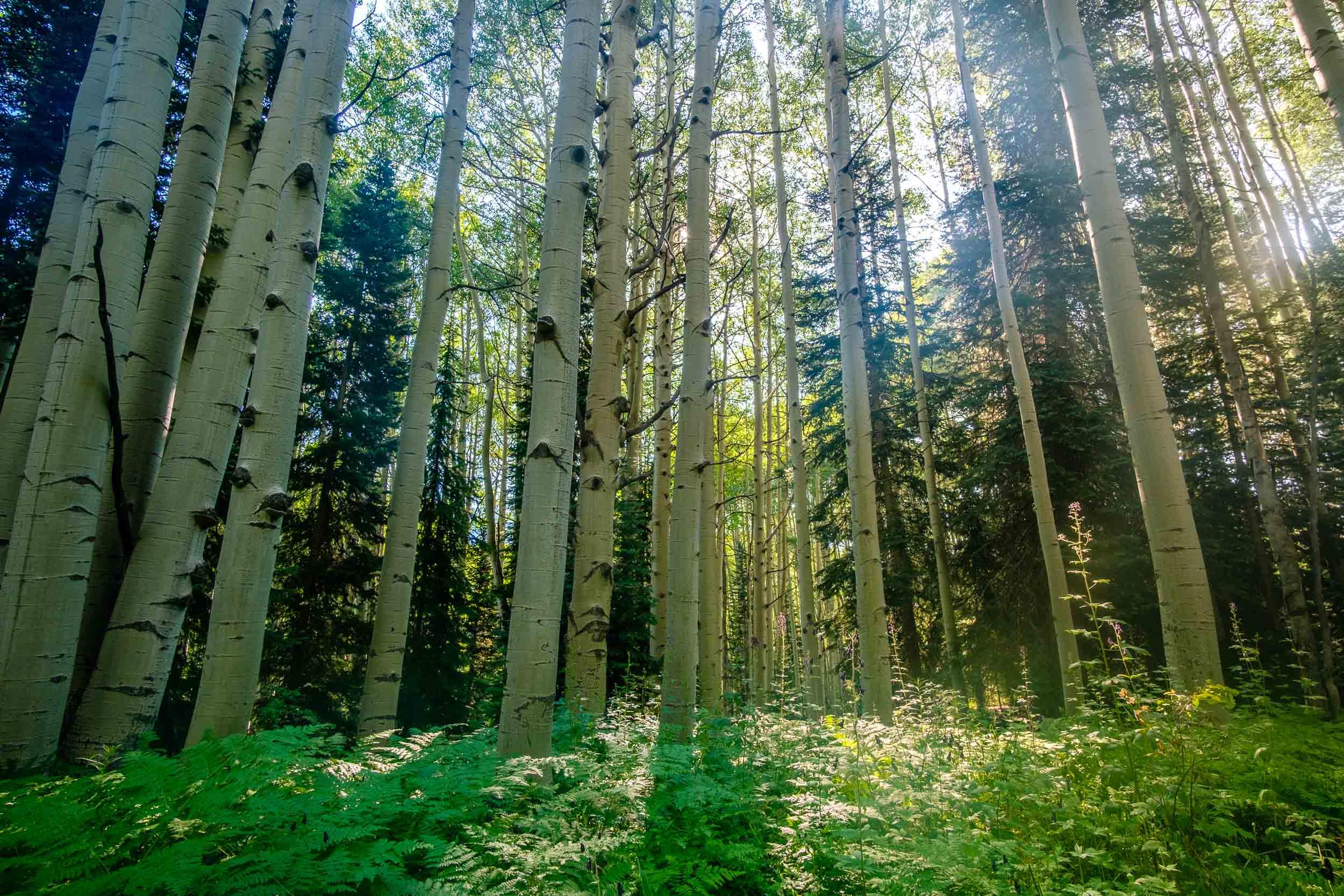 Layer of ferns along the forest floor below the aspens along Kebler Pass - Fuji XT2, Rokinon 12mm f/2