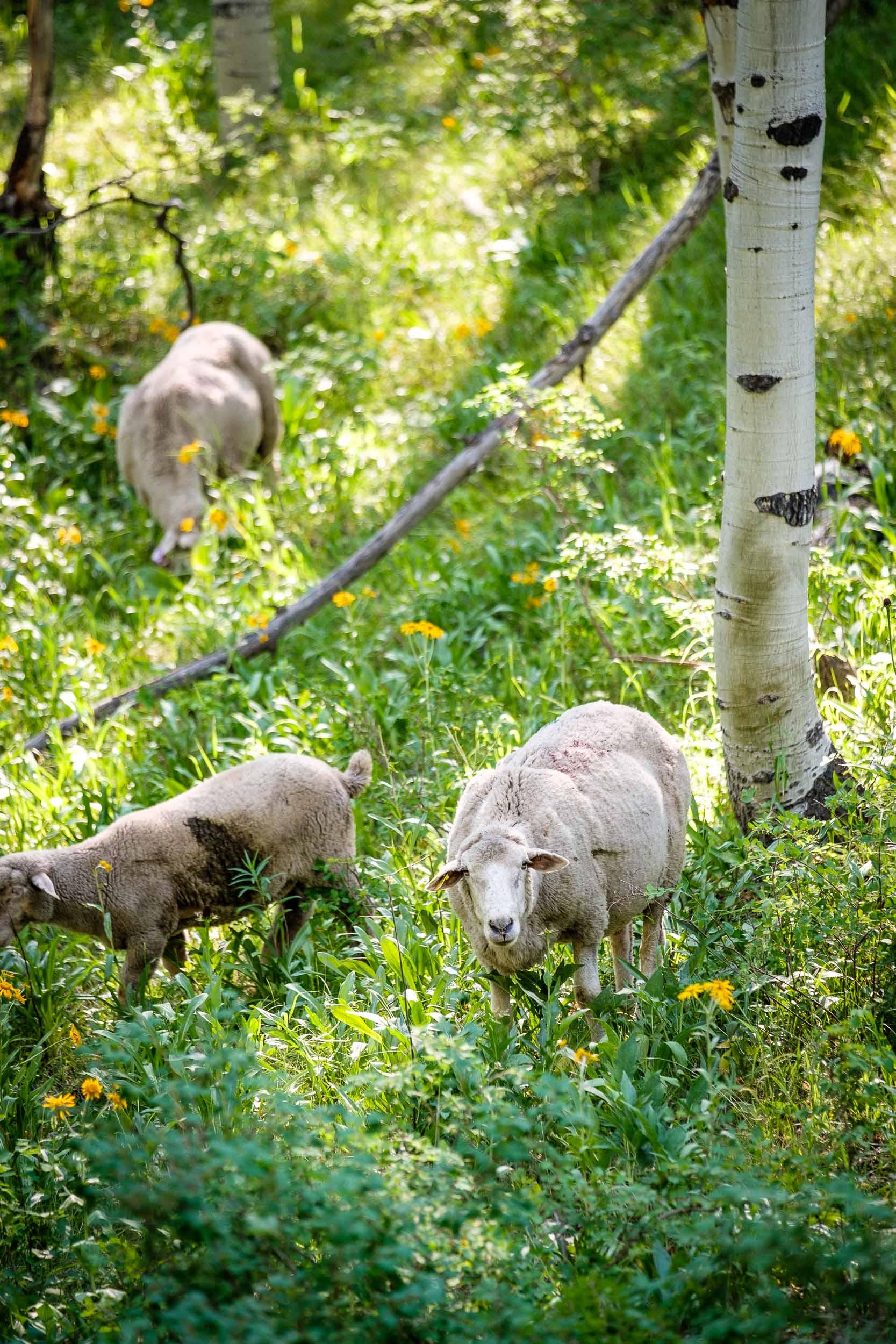 Sheep grazing along Kebler Pass, Fuji XT2, 50-140mm f/2.8 @ 61mm