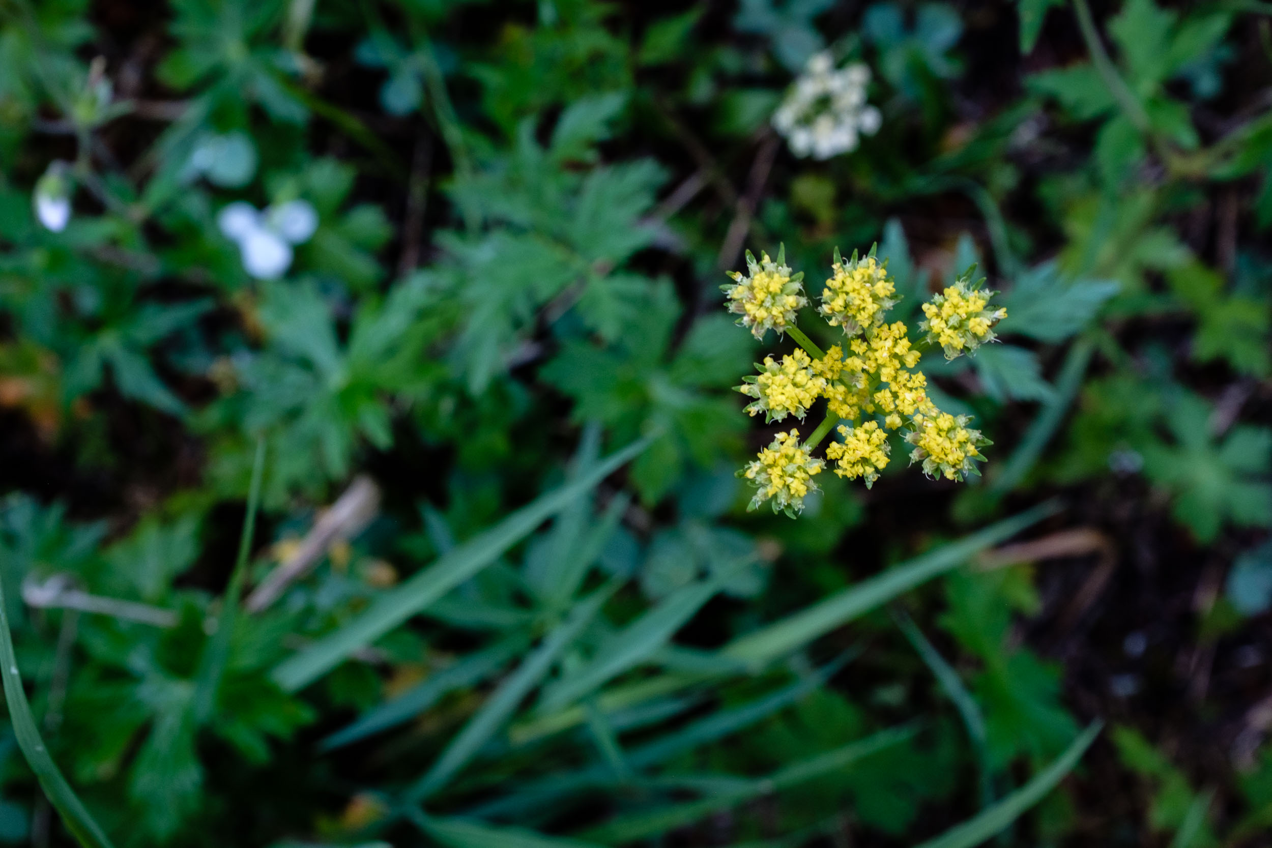 Delicate Yellow Blooms - Fuji XT2, 23mm f/2
