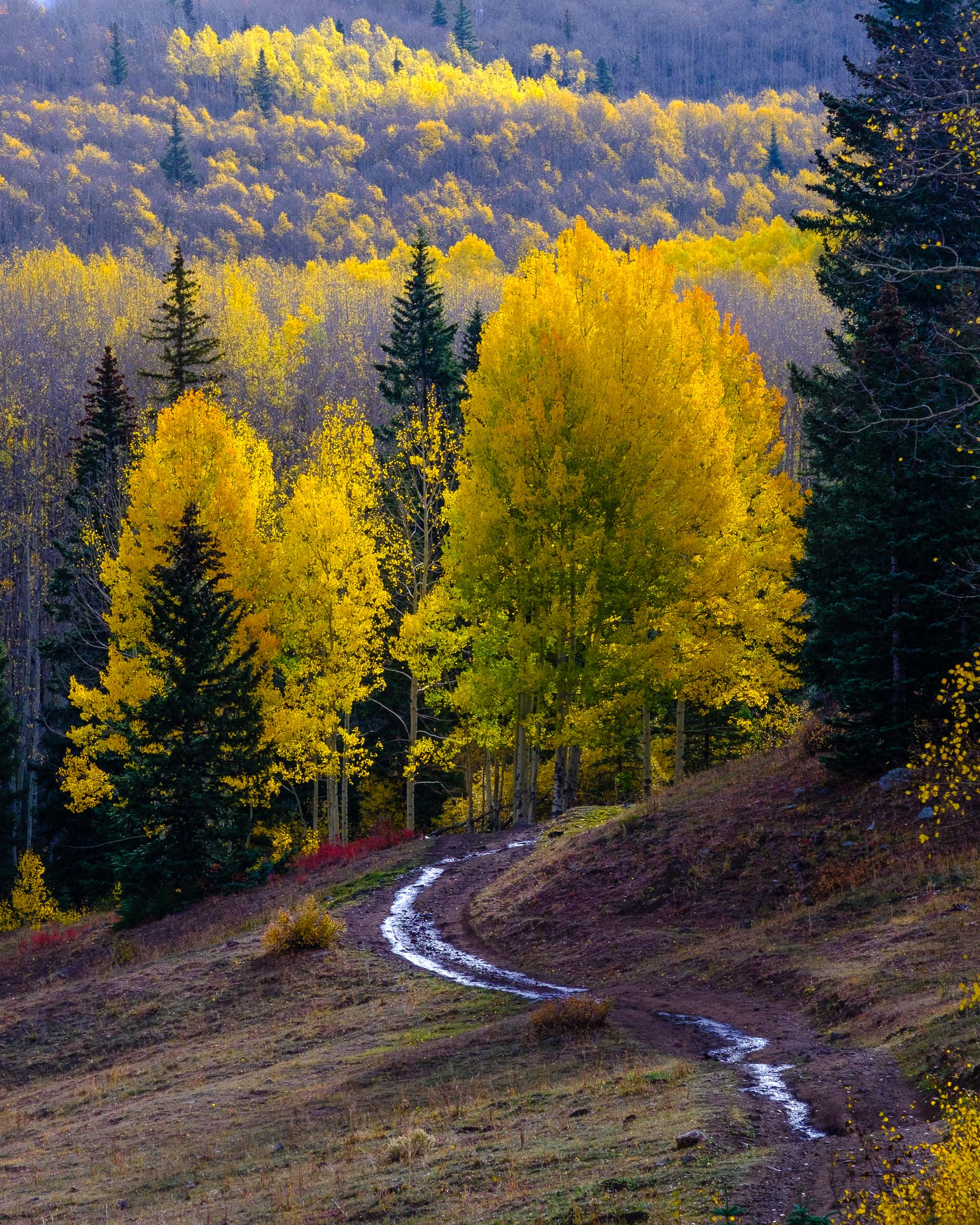 Sunshine highlights the aspens trees along a back country road in the Uncompahgre National Forest - Fuji XT2, XF 50-140mm f/2.8 @ 115mm