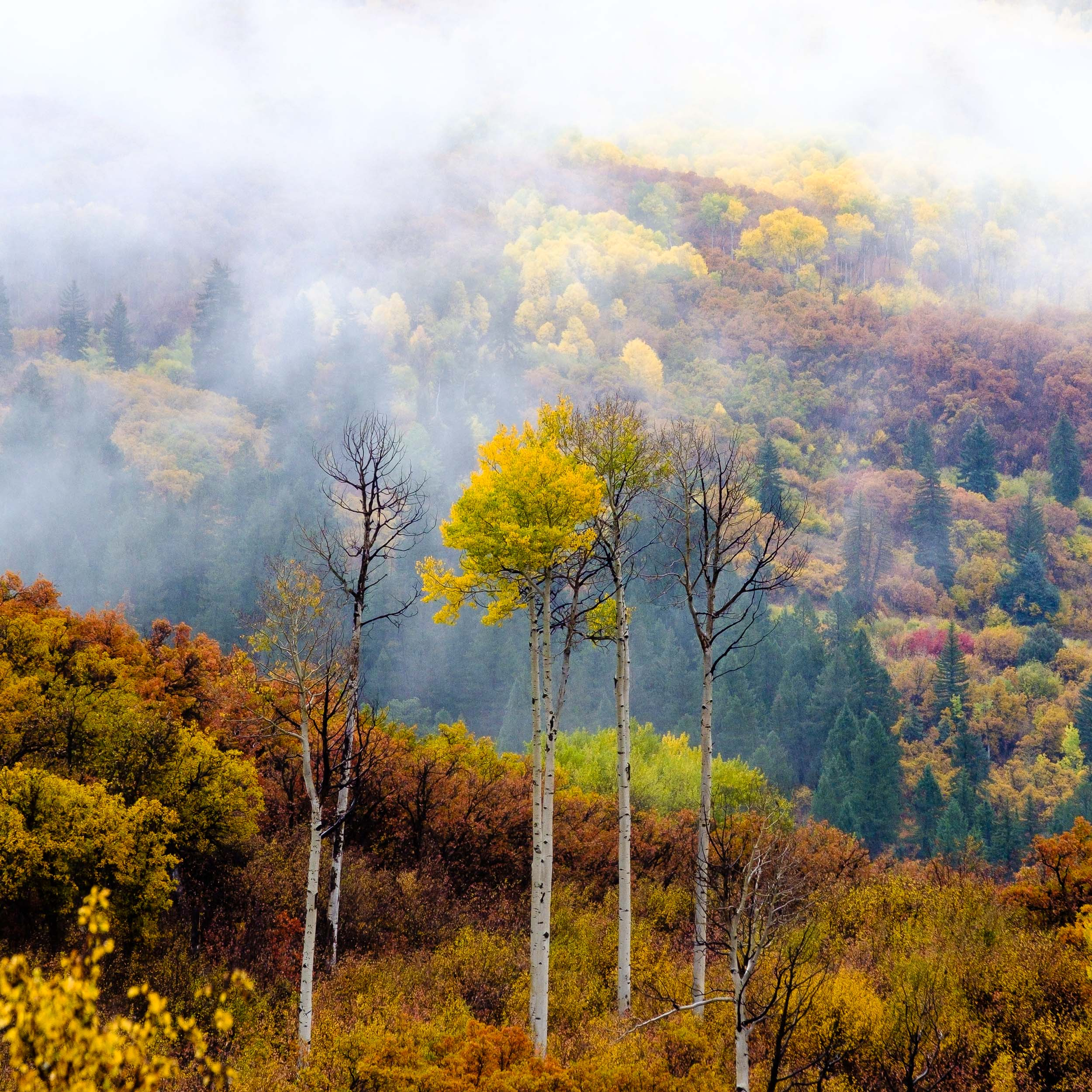 Lone aspen tree stands out amongst the fog along Kebler Pass Road in the West Elk Mountains - Fuji XT2, XF 50-140mm f/2.8 @ 134.4mm
