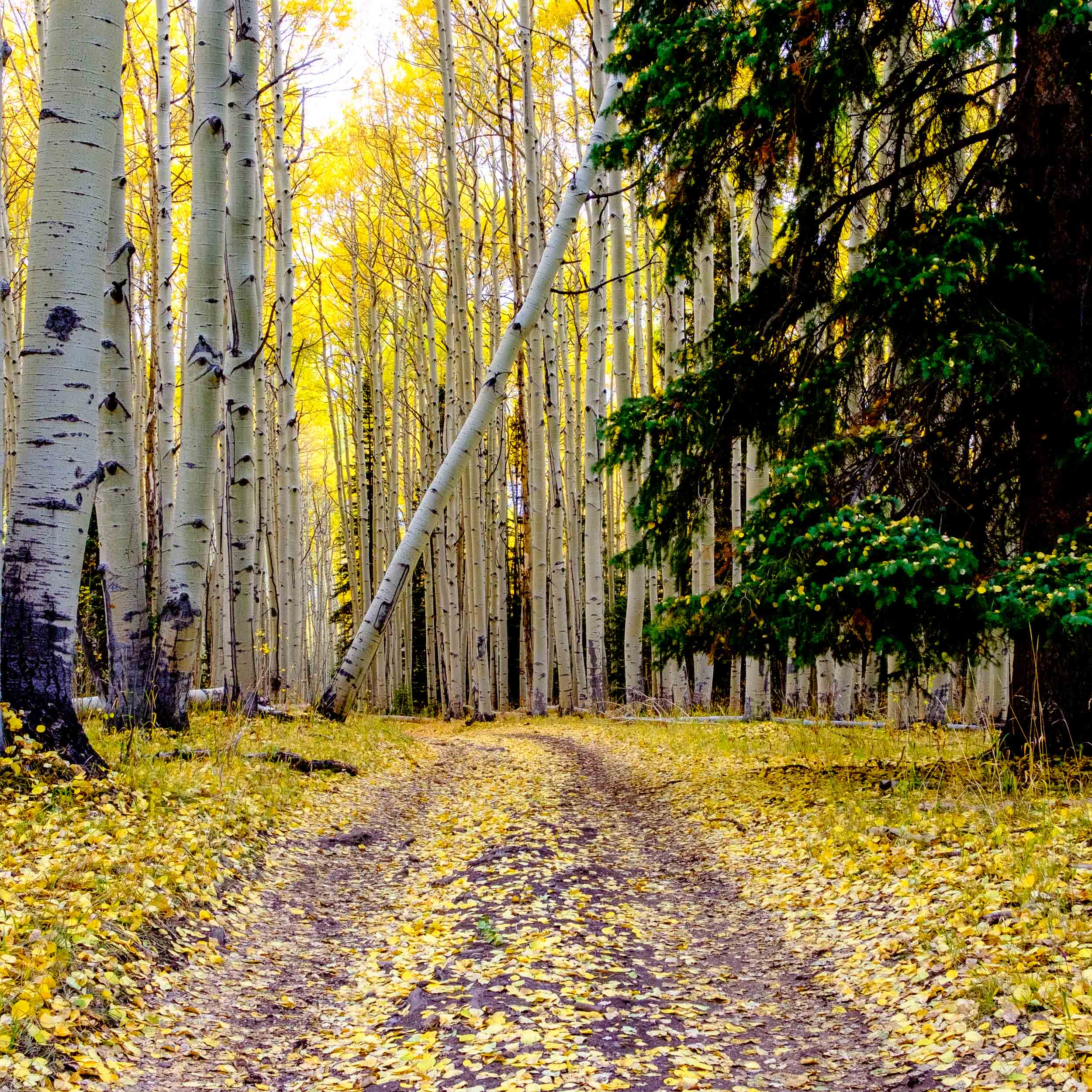 Fall aspen leaves line a remote trail through the Uncompahgre National Forest - Fuji XT2, XF 23mm f/2 WR