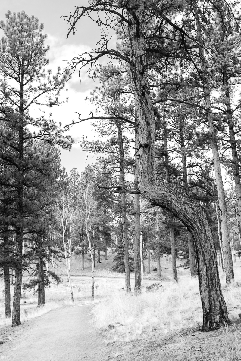Day 2 - 365 B&W Challenge - My daughter said this tree either needed a chiropractic adjustment or it was doing  a Tree pose (Yoga).  Made me laugh! -   Fuji X100F - Acros R Film Simulation