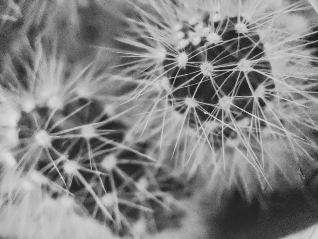 Day 13- 365 B&W Challenge - Macro image of a Cacti - Google Pixel 3, Moment Macro Lens, VSCO KX4