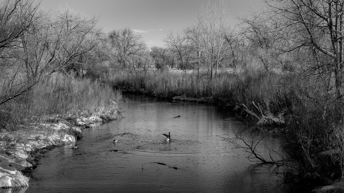 Day 17 - 365 Day B&W Photo Challenge - A Duck stretching it's wings on a warm winter's day.