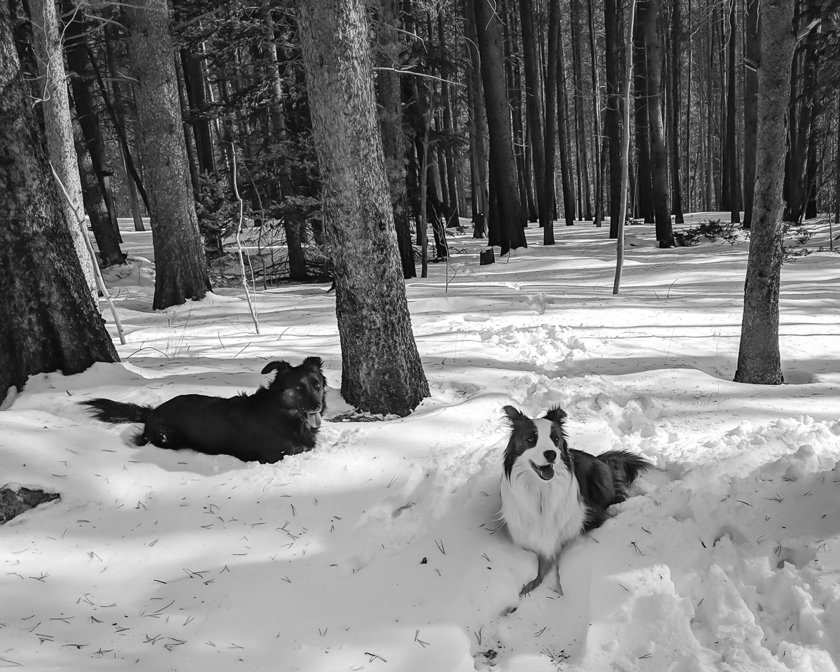 Day 24 - 365 Day B&W Photo Challenge - Met these two dogs out on the trail. So well behaved. Beautiful dogs - Google Pixel 3, VSCO B3