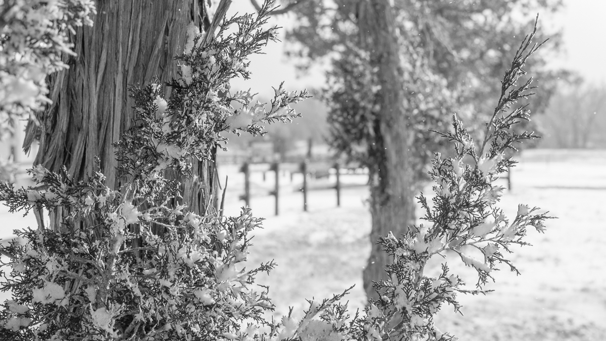 Day 40 - 365 Day B&W Photo Challenge - Snowy Juniper Tree - Fuji XT-2, XF35mm f/2, Acros R Film Simulation