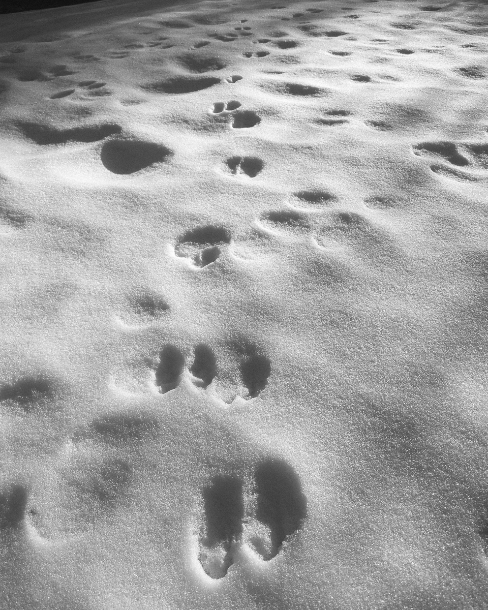 Day 55 - 365 Day B&W Photo Challenge - Weather started to warm up and melt some snow and the bunnies came out to leave some tracks in the snow.  Here are the tracks late afternoon after some melting. - Google Pixel 3, Moment 58mm Tele Lens, VSCO Film - HP5 Pushed +1
