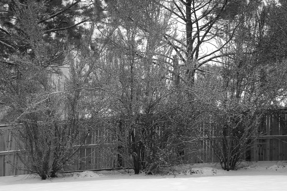 Day 56 - 365 Day B&W Photo Challenge - Long exposure of snowfall in my backyard. 20 Second Exposure. - Fuji XT-3, XF 35mm f/2, Acros R Fim Simulation