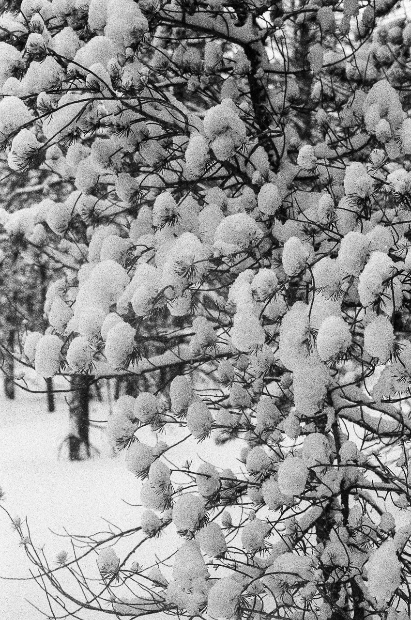 Snow accumulation on the branches