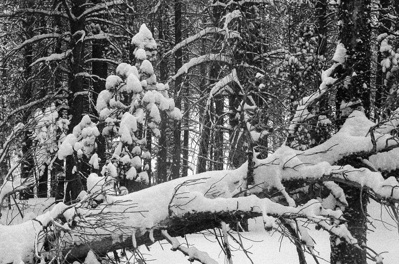 Snow accumulation on the dead tree