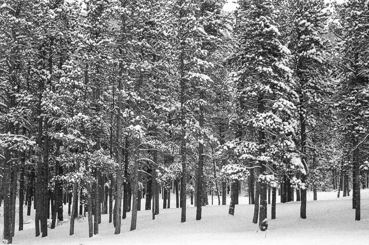 Snowy forest of trees in Rocky Mountain National Park