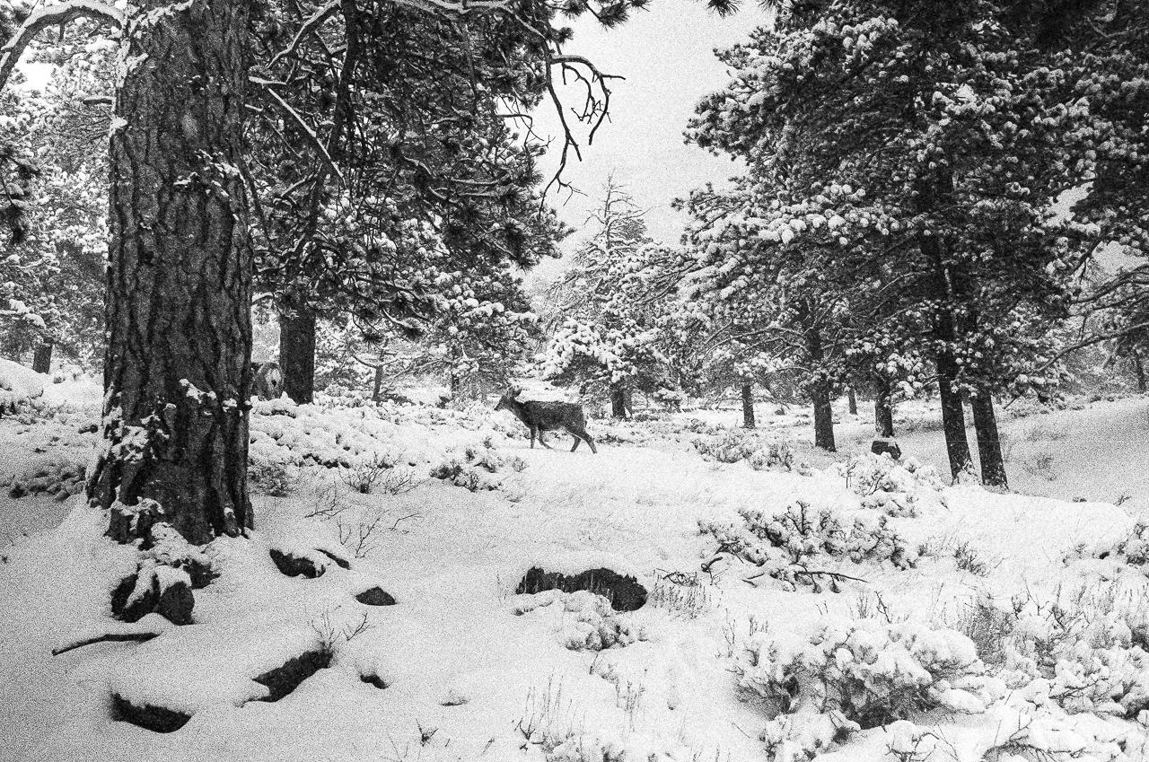 Mule deer walks across the fresh snow