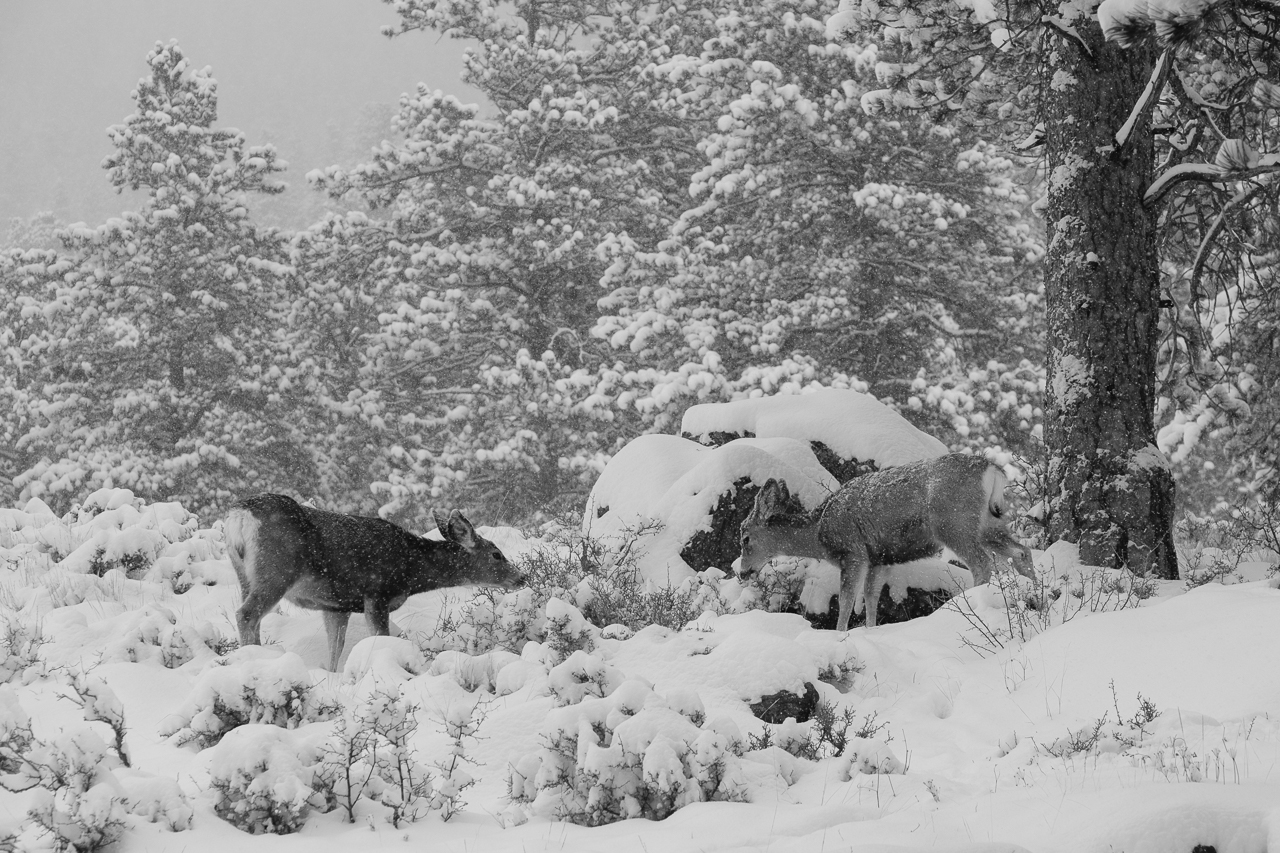 Mule Deer grazing in the Snow