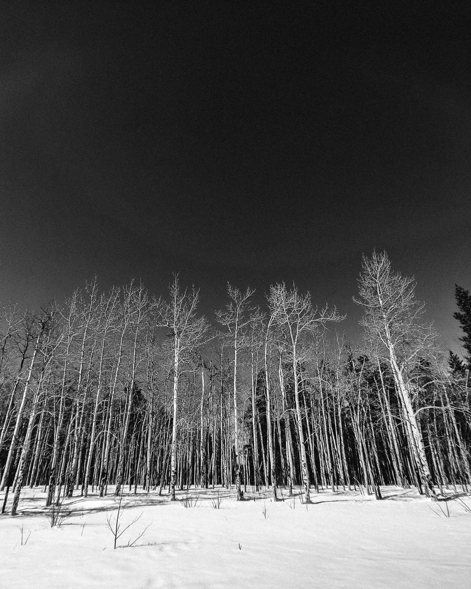 Day 79- 365 Day B&W Photo Challenge - An aspen stand in the winter along the trails at Kenosha Pass. Google Pixel 3, Moment Wide Lens, VSCO Tri-X 400 preset