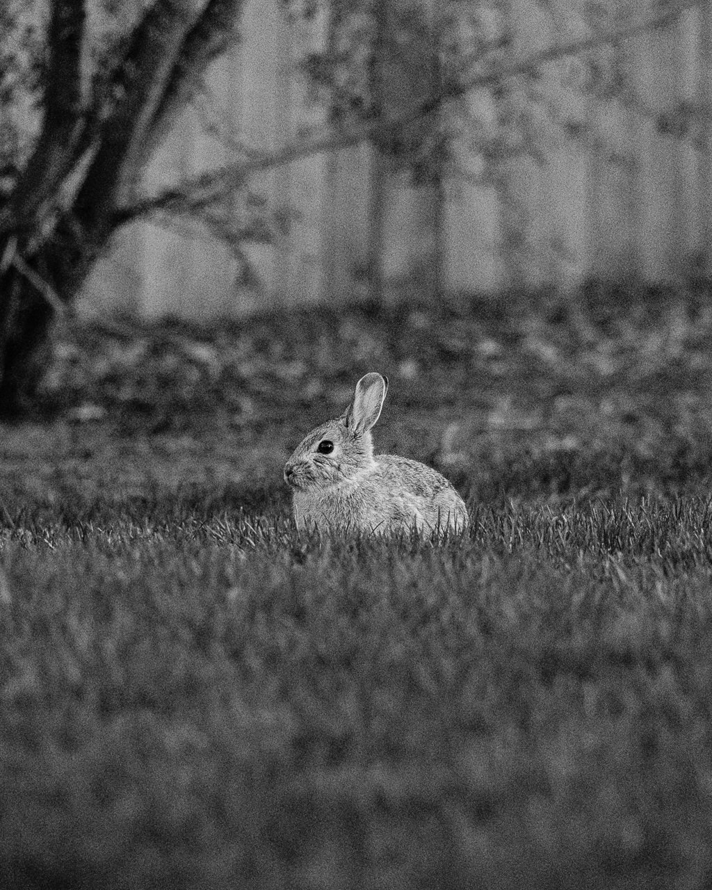 Day 112 - 365 Day B&W Photo Challenge - The bunny rabbits have come out of their winter homes just in time for Easter. - Fuji X-T3, XF 50-140mm f/2.8, Acros R Film Simulation