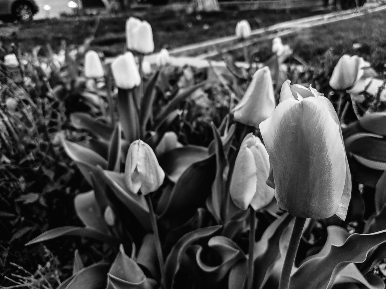 Day 117- 365 Day B&W Photo Challenge - Tulips are starting to bloom - Google Pixel 3, VSCO Fuji Neopan 400 Film Simulation