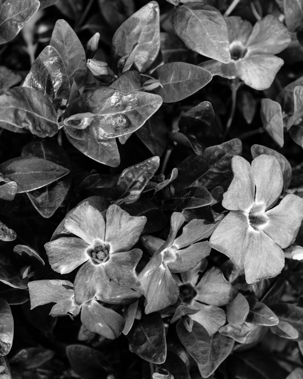 Day 127- 365 Day B&W Photo Challenge - Spring Flowers are starting to bloom - Fuji X100F, Acros Ye Film Simulation