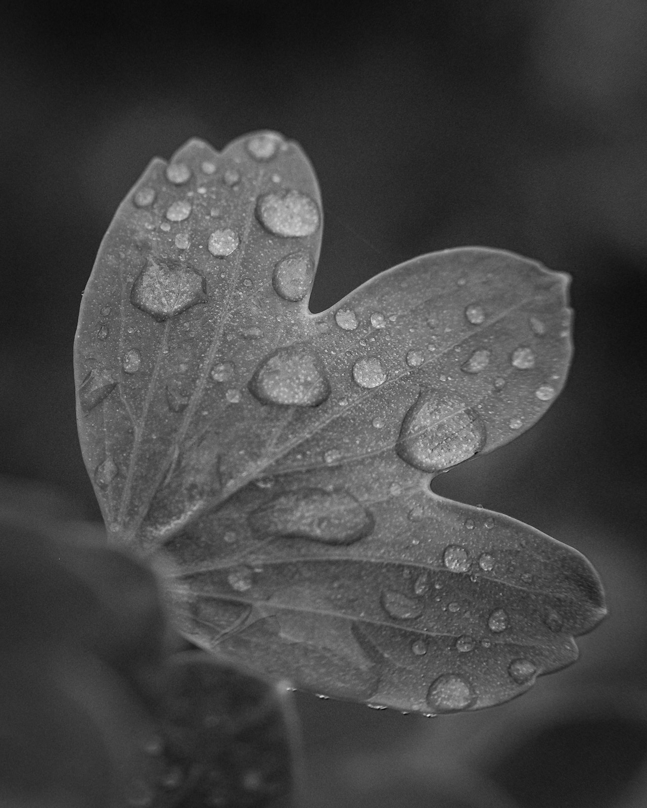 Day 129- 365 Day B&W Photo Challenge - The May Flowers are starting to bloom, but it appears May Showers are in order here in Colorado. Those rain drops make for beautiful images. - Fuji X-T3, MCEX-11 Extension Tube, XF 35mm f/2, Acros R Film Simulation