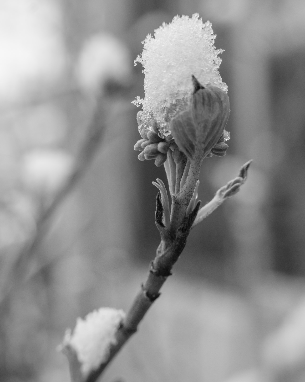 Day 132- 365 Day B&W Photo Challenge - A  spring snow storm hit the front range here in Colorado. It added a little texture to the blooming plants.  Hopefully since it was a light snow here in Denver it won't affect the growth of the spring blooms. - Fuji X-T3, MCEX-11 Extension Tube, XF 35mm f/2, Acros R Film Simulation
