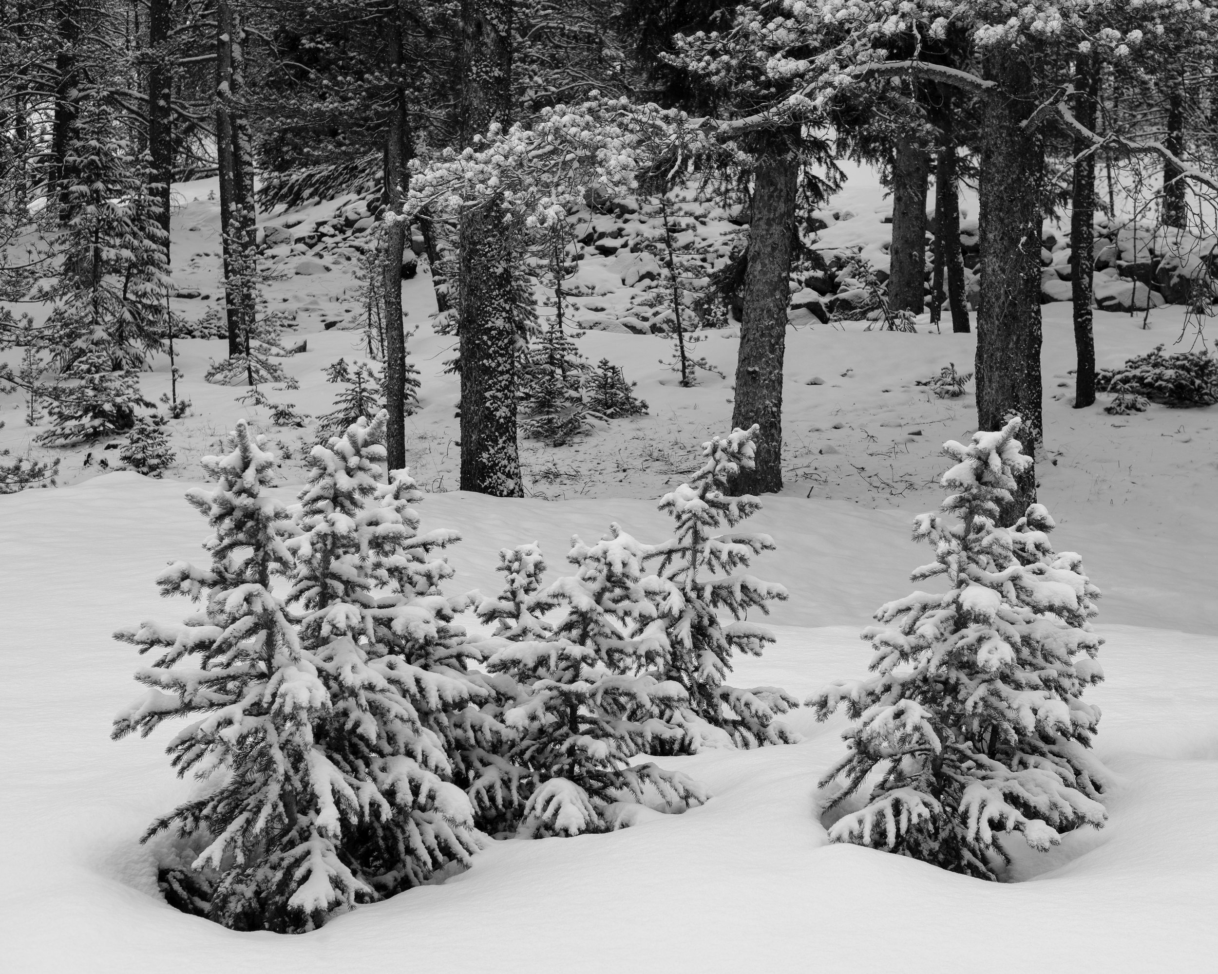 Day 141- 365 Day B&W Photo Challenge - It's the middle of May and we get a fresh layer of powder in the San Isabel National Forest.. - Fuji X-T3, XF 35mm f/2, Acros R Film Simulation