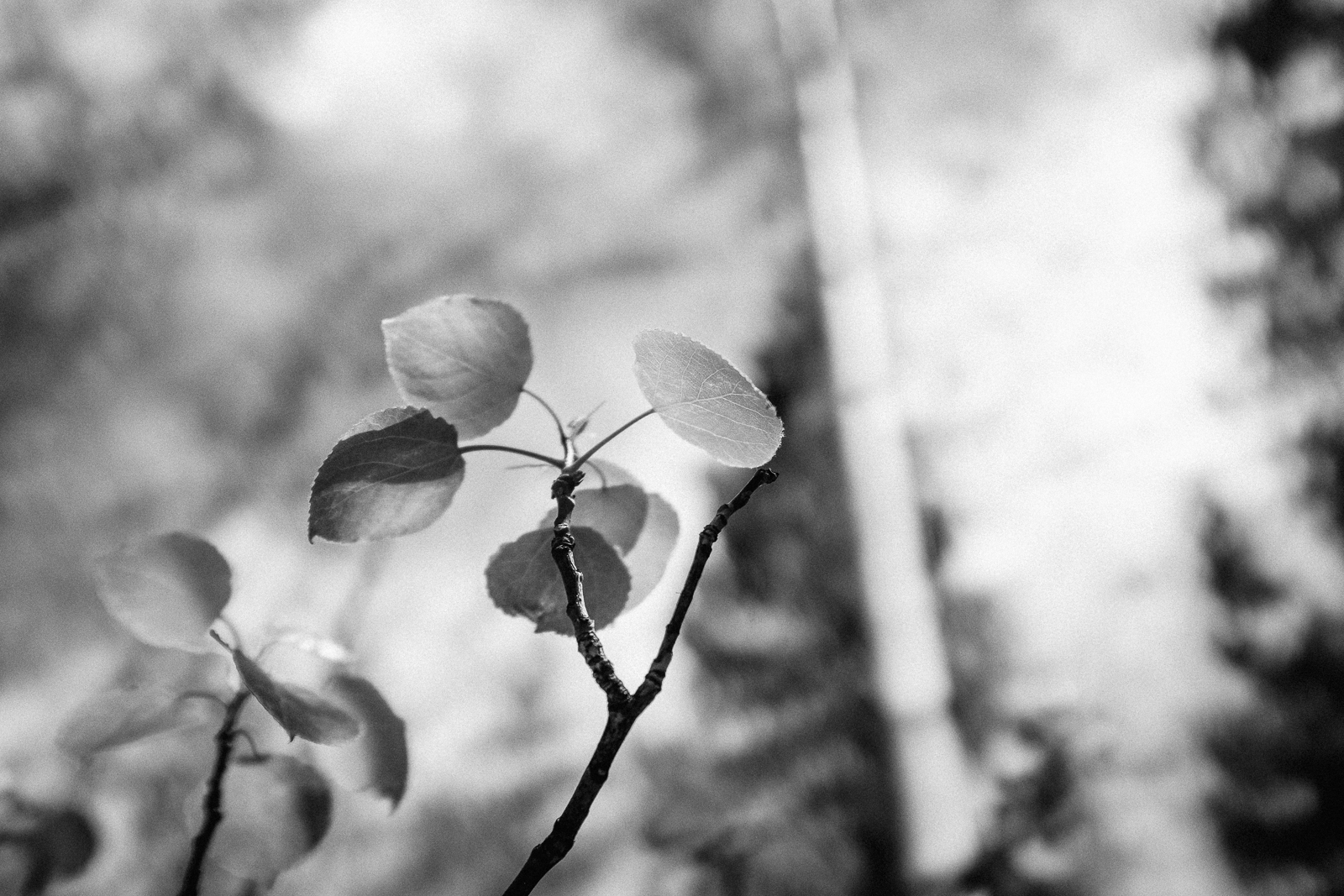 Day 158- 365 Day B&W Photo Challenge - The glow of aspen leaves in the sunshine on a warm spring day. - Fuji X100F, Acros R Film Simulation