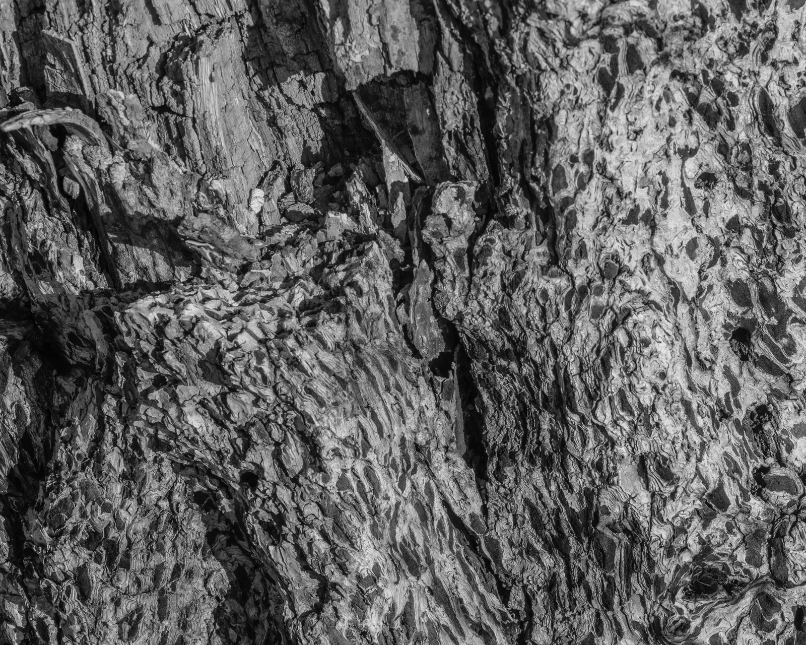 Day 170 365 Day B&W Photo Challenge - Pine Tree Bark charred by forest fire-  Fujifilm X-T3, Acros R Film Simulation
