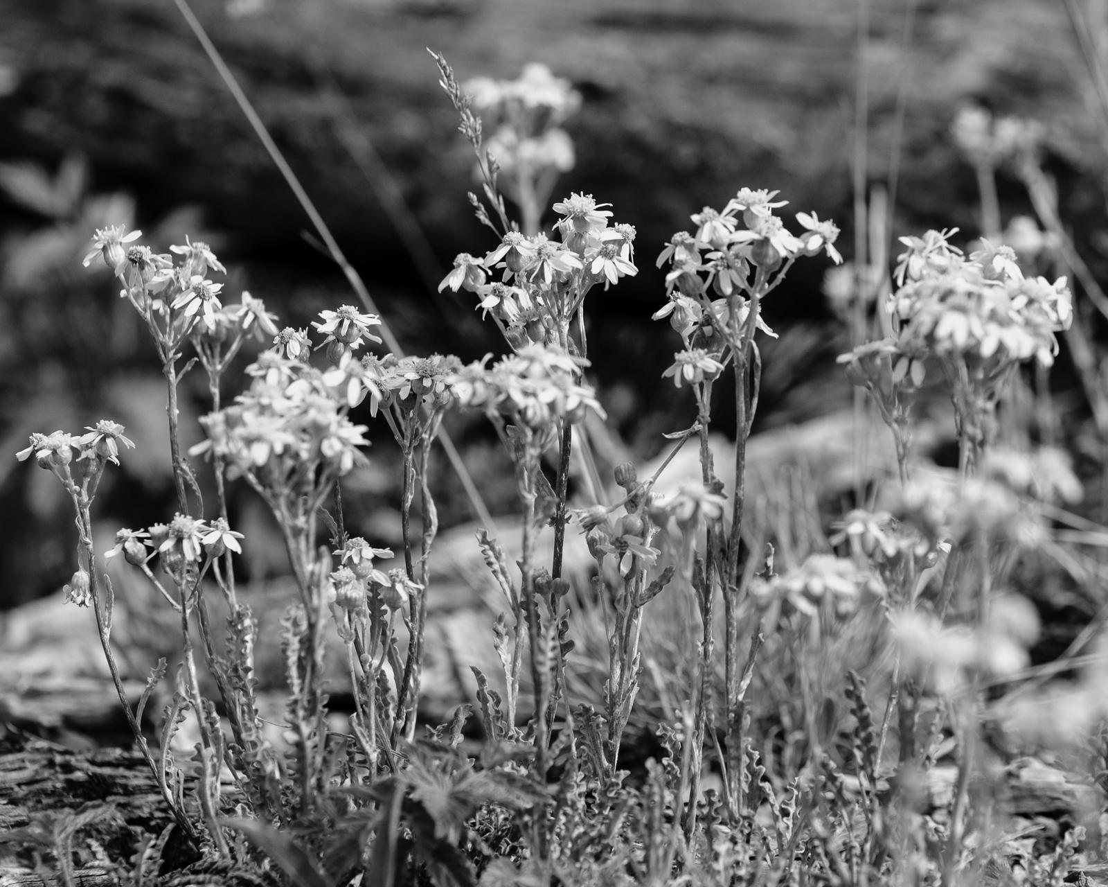 Day 169- 365 Day B&W Photo Challenge - Blooming Daisies -  Fujifilm X-T3, Acros Ye Film Simulation